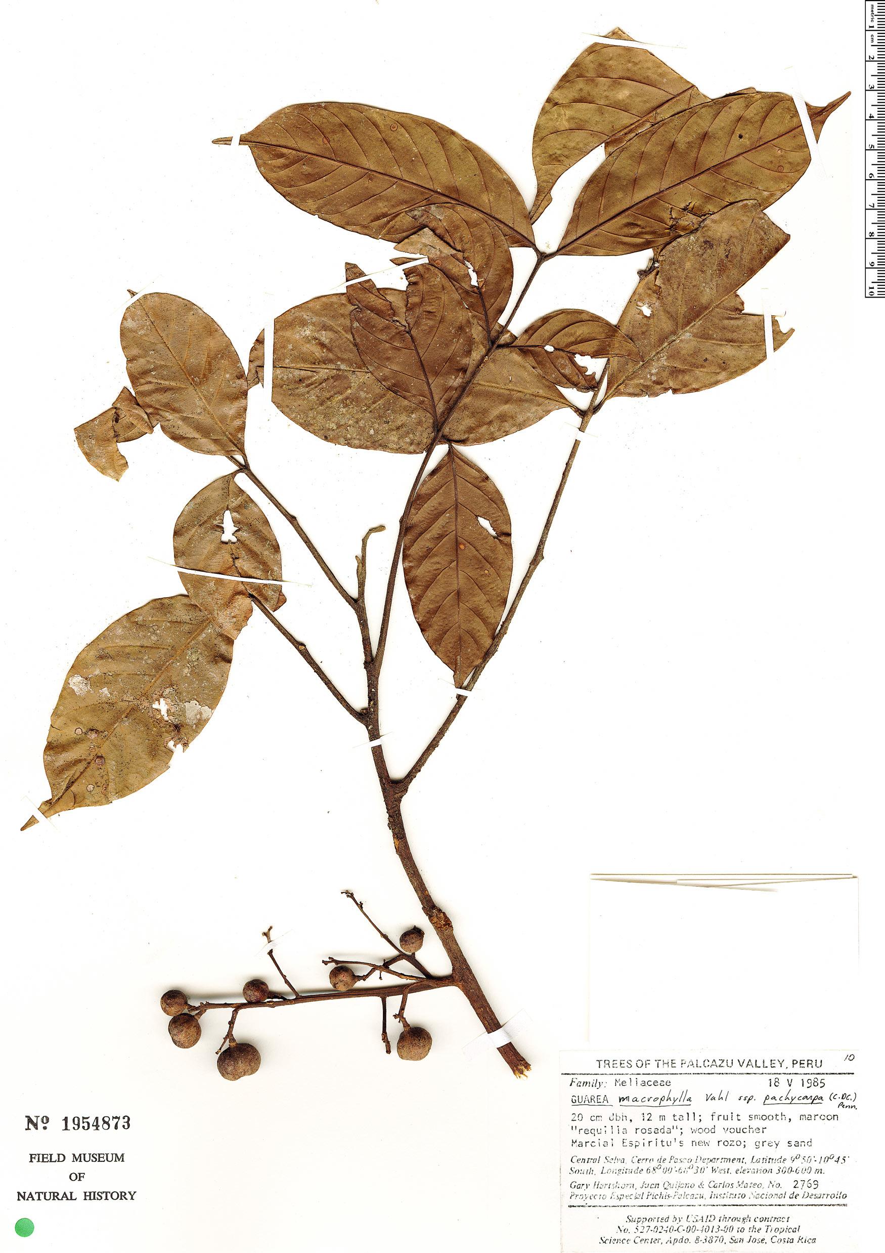 Espécime: Guarea macrophylla