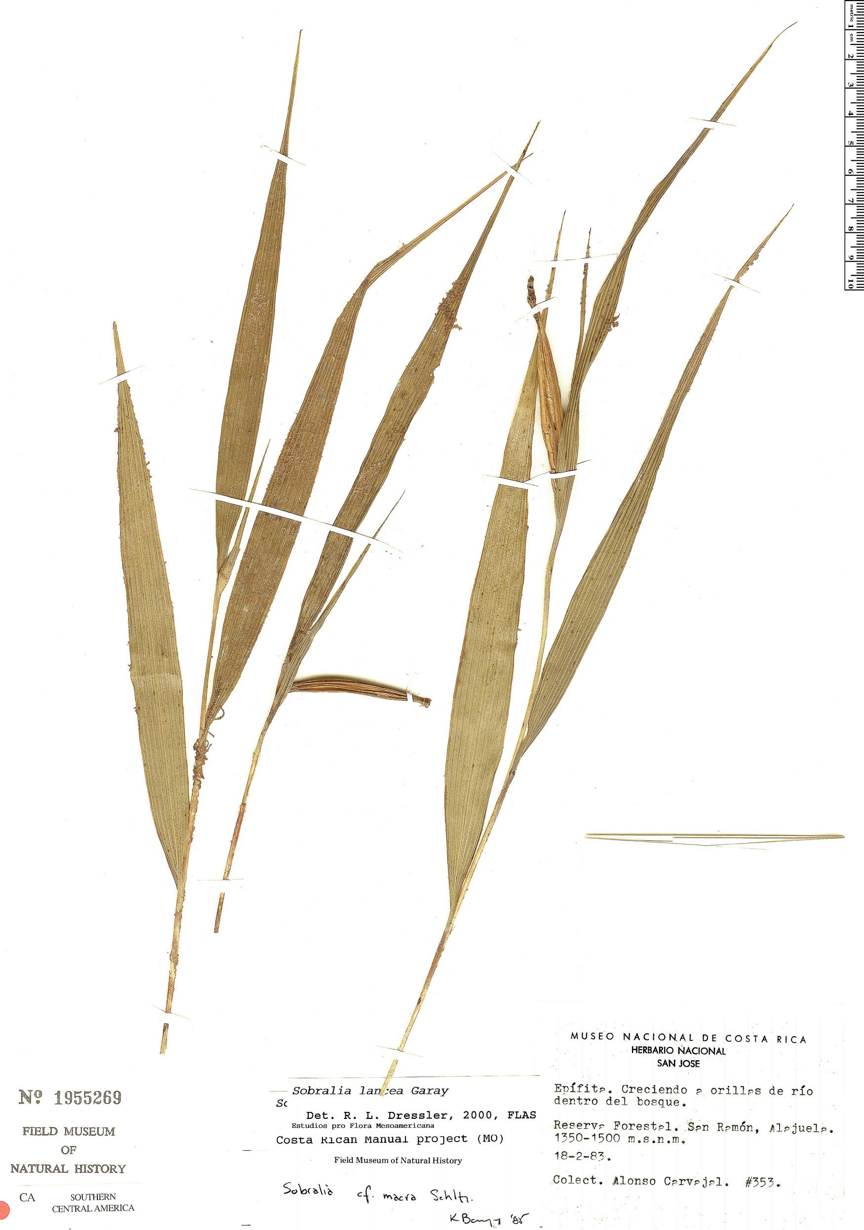Specimen: Sobralia quinata