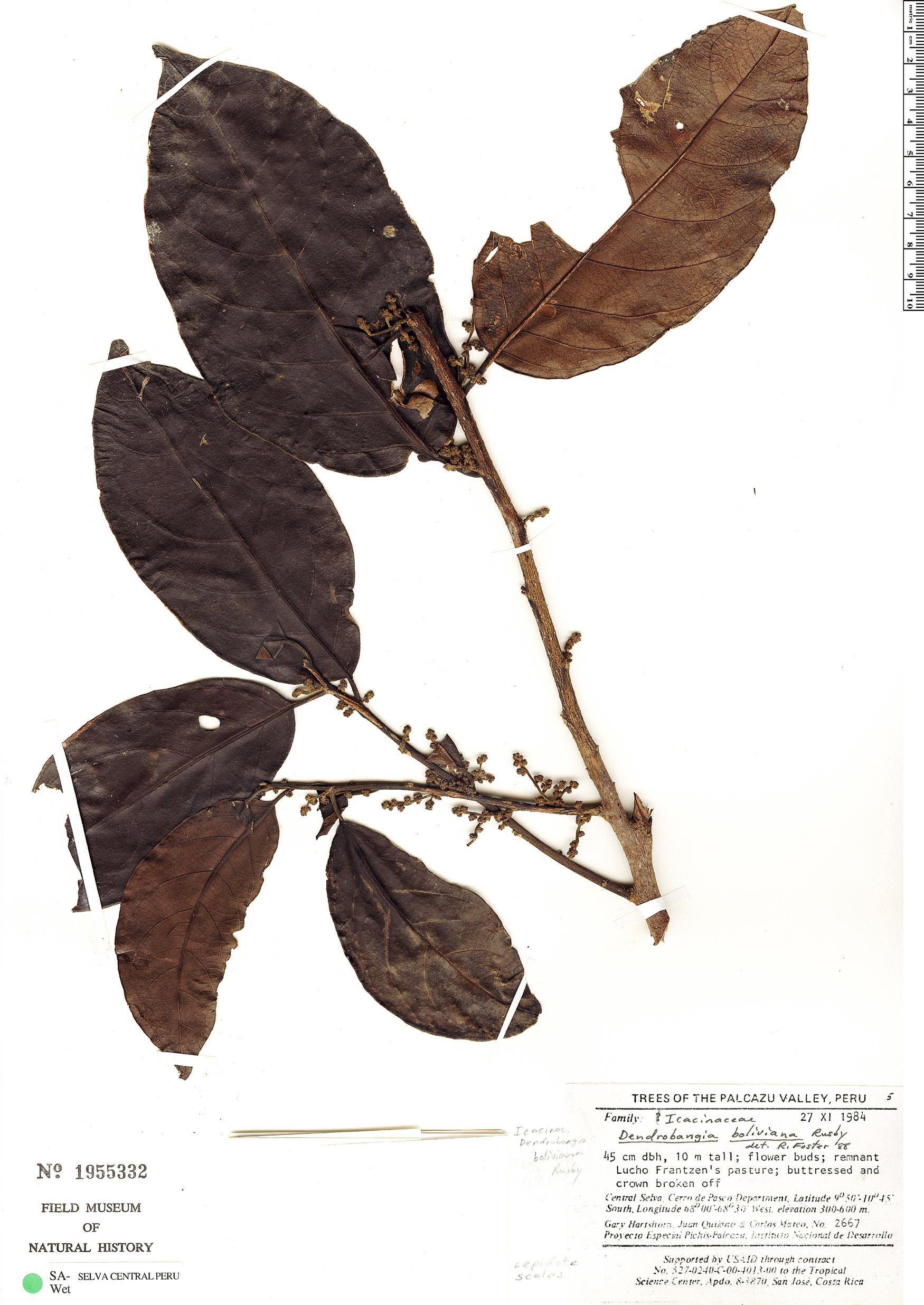 Specimen: Dendrobangia boliviana