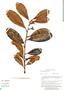 Ficus americana subsp. guianensis (Desv.) C. C. Berg, Peru, G. S. Hartshorn 2678, F