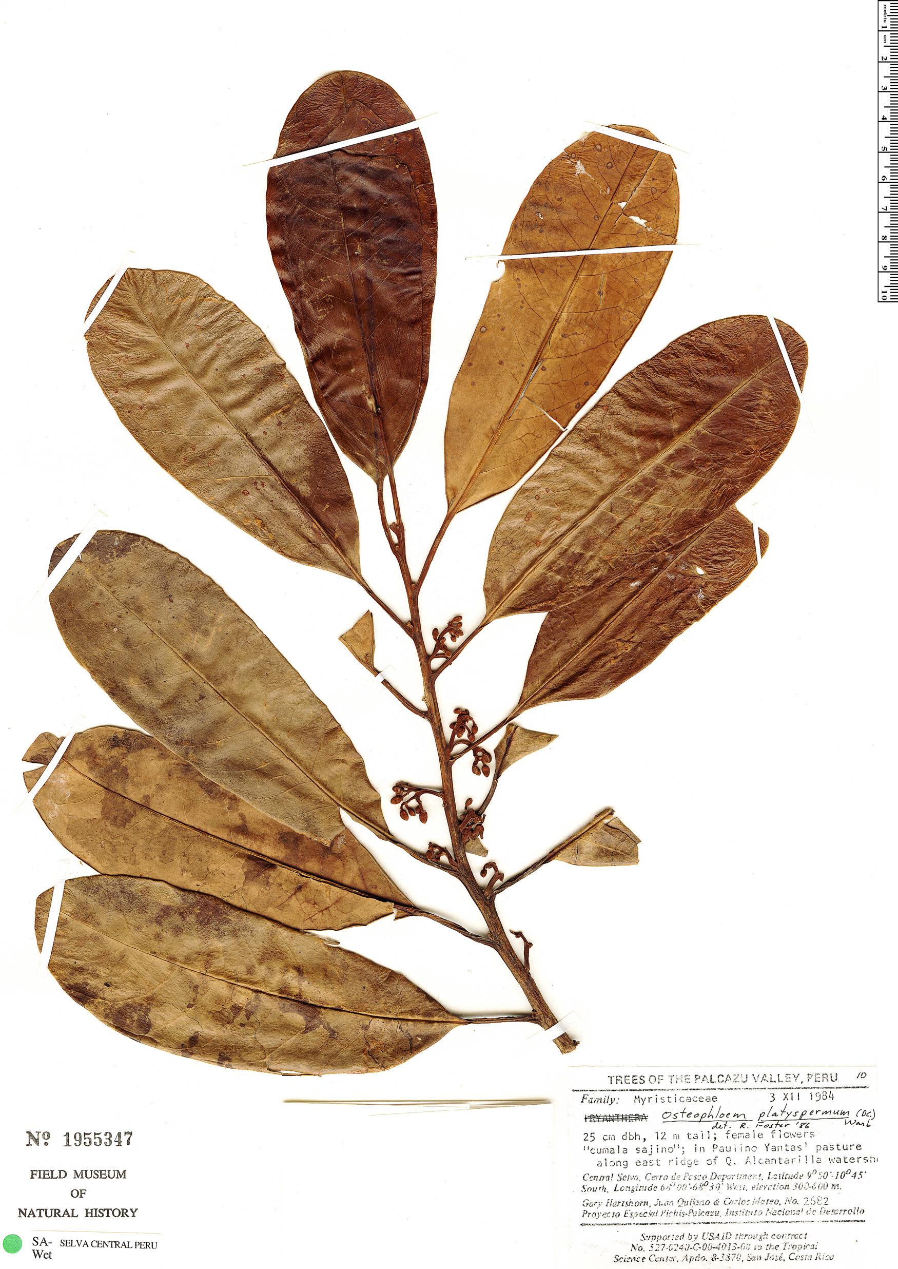 Specimen: Osteophloeum platyspermum