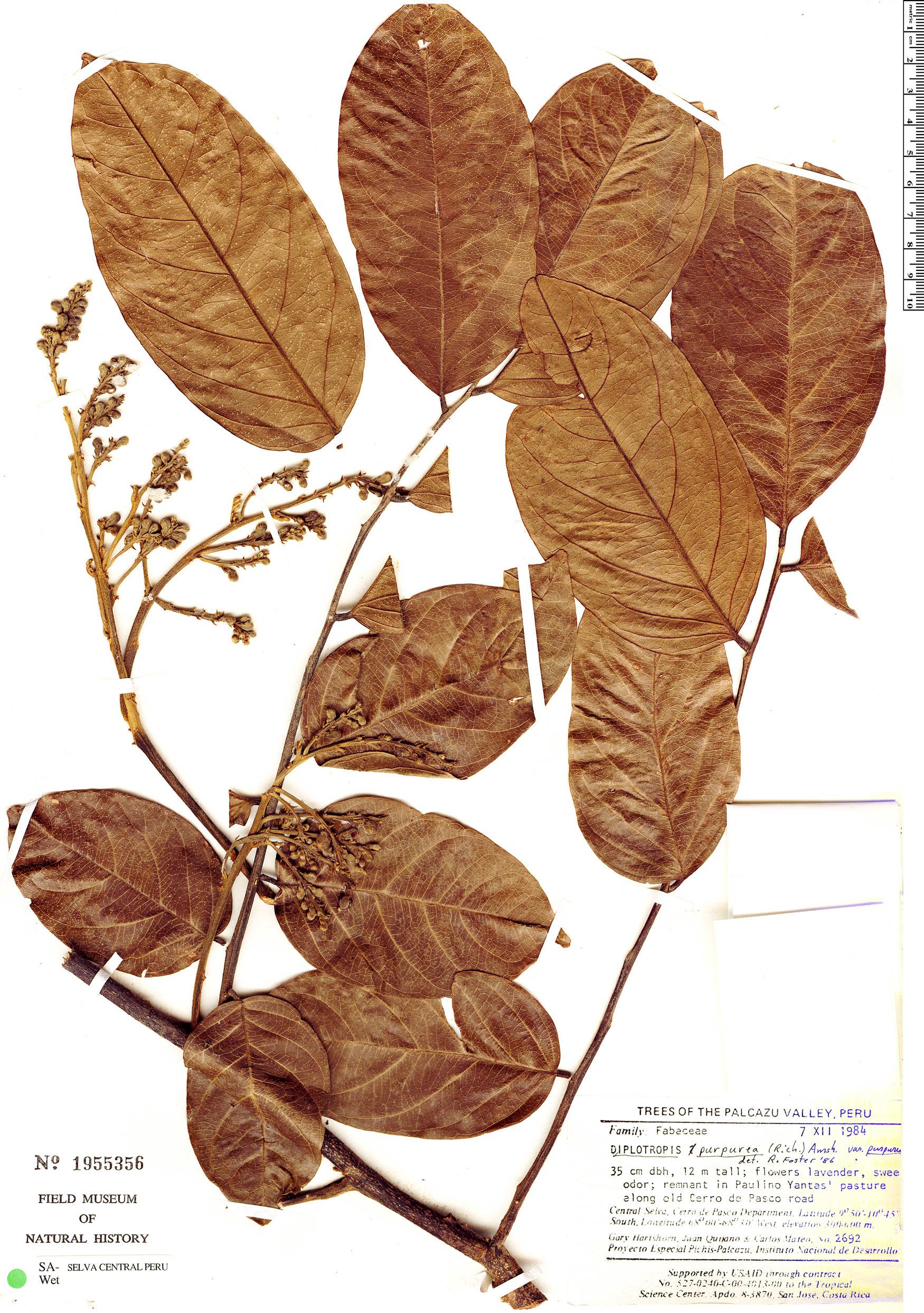 Specimen: Diplotropis purpurea