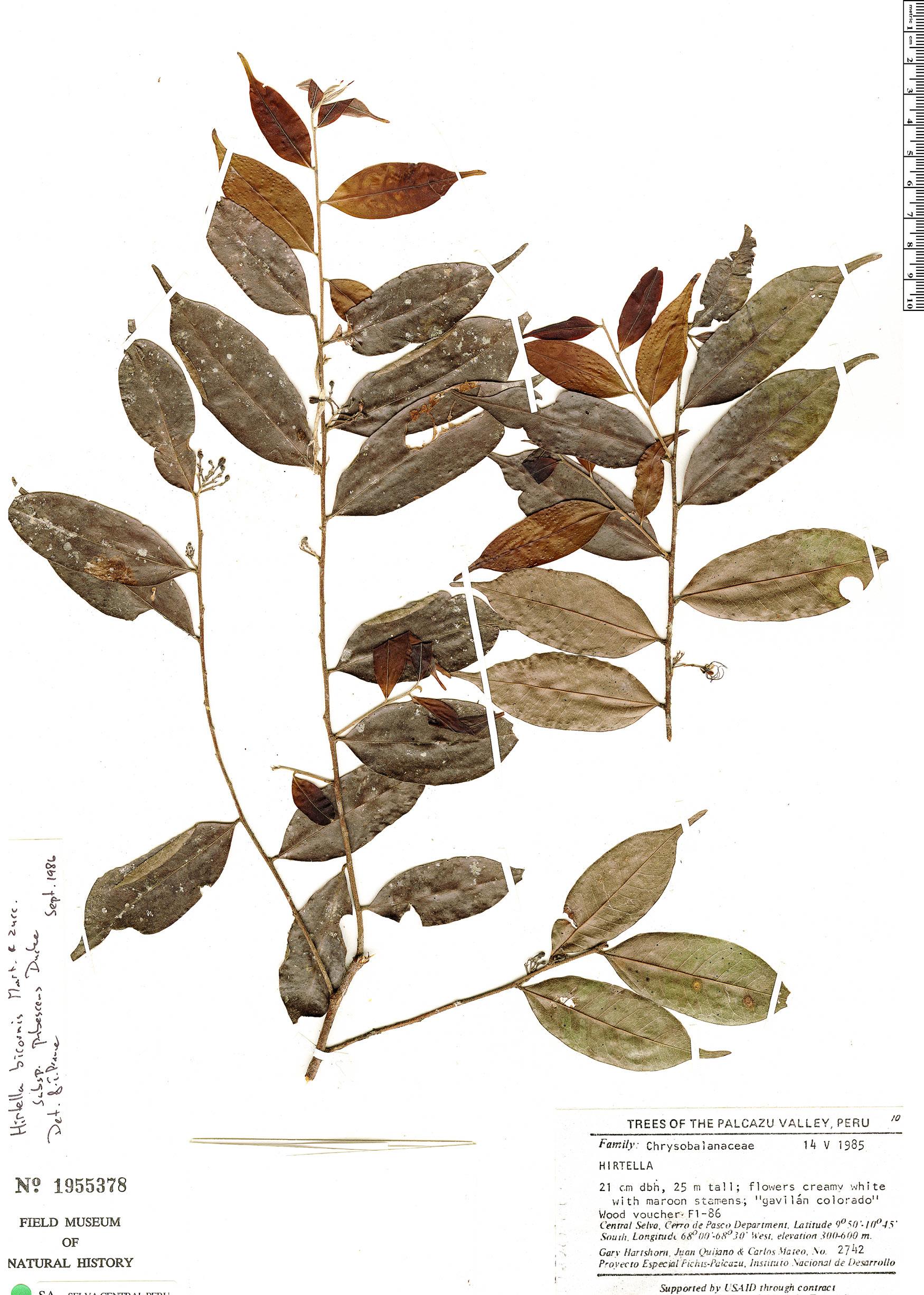Specimen: Hirtella bicornis