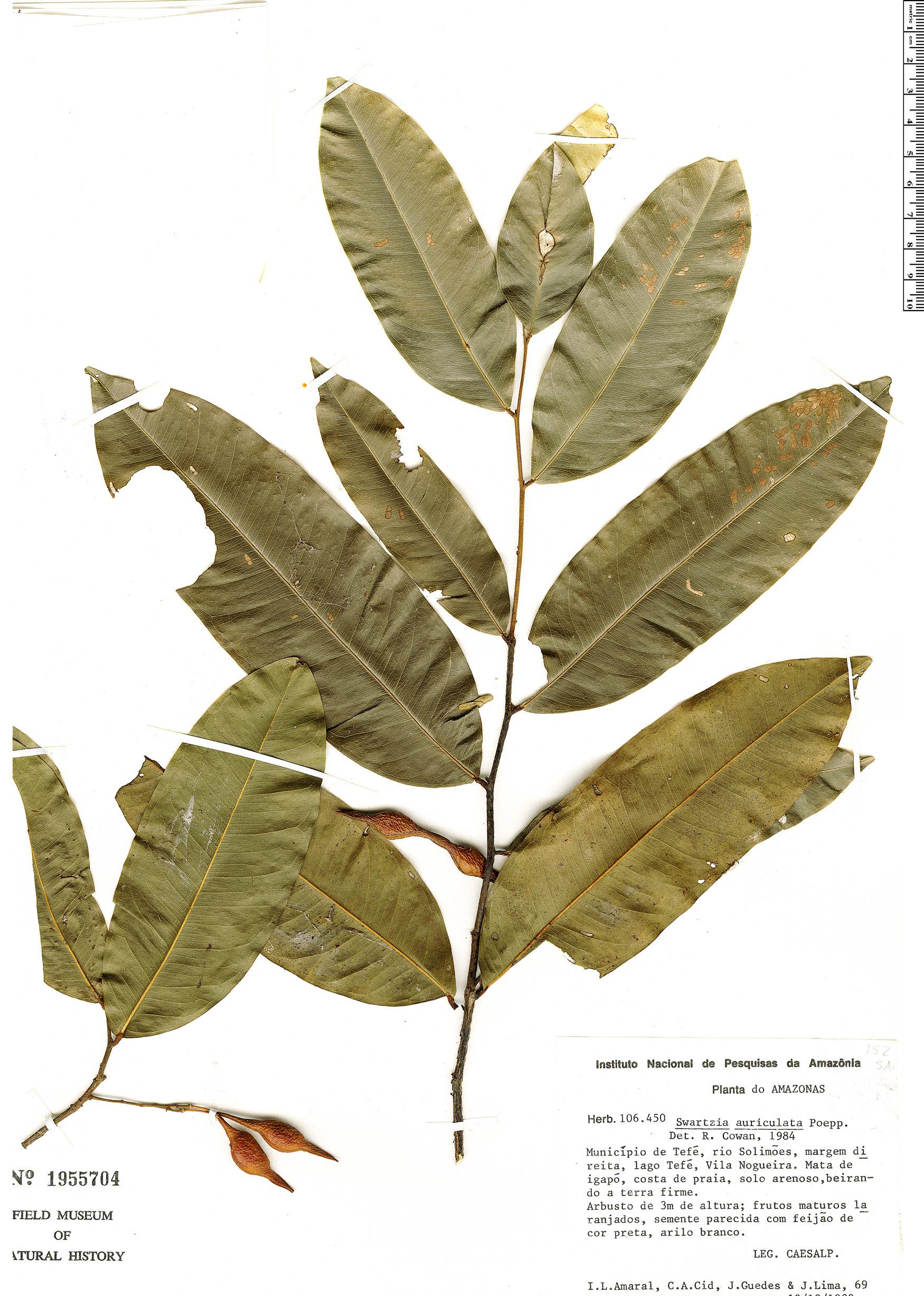 Specimen: Swartzia auriculata