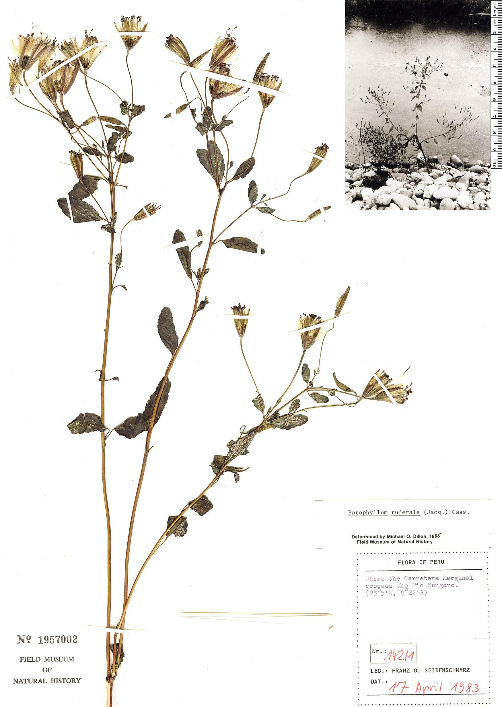 Espécime: Porophyllum ruderale