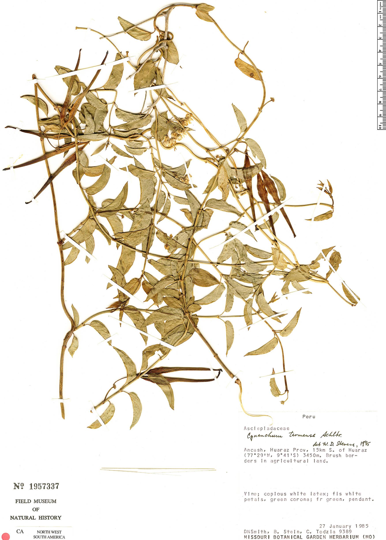 Specimen: Cynanchum tarmense