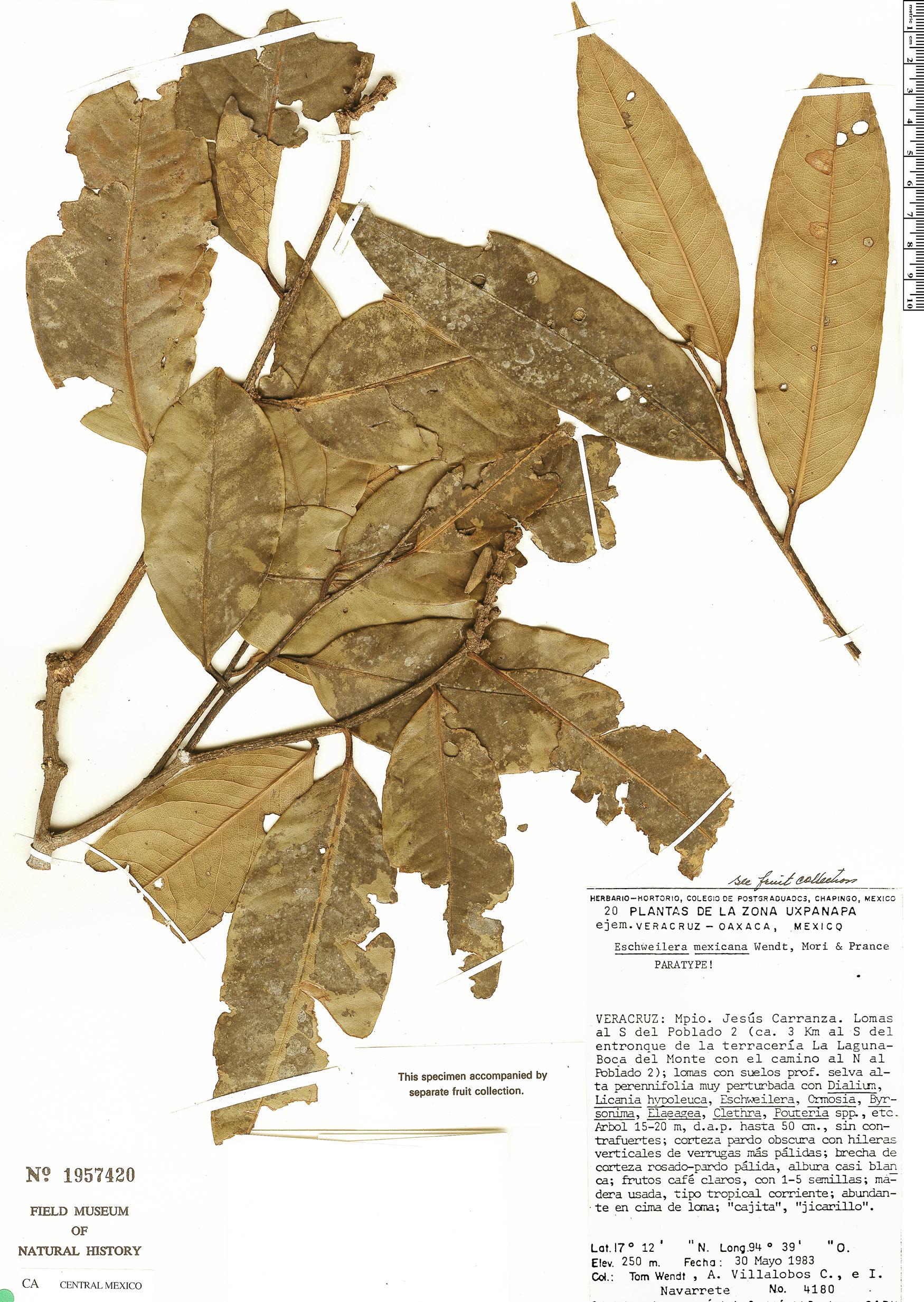 Specimen: Eschweilera mexicana