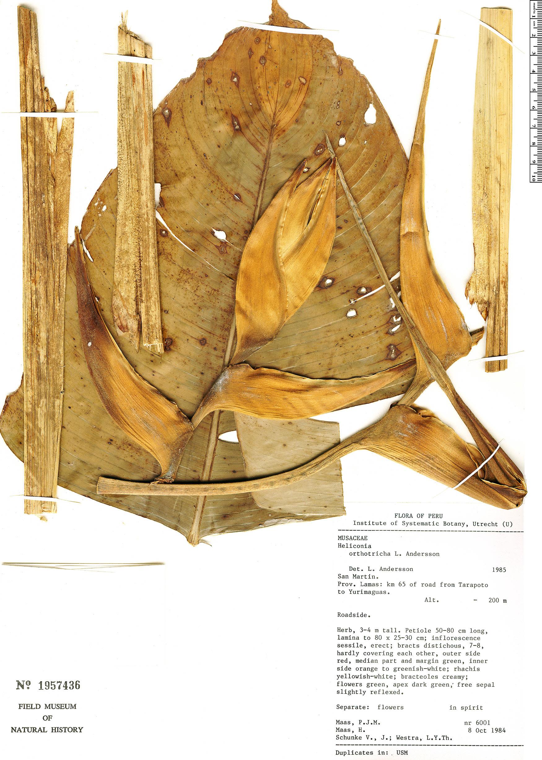 Specimen: Heliconia orthotricha