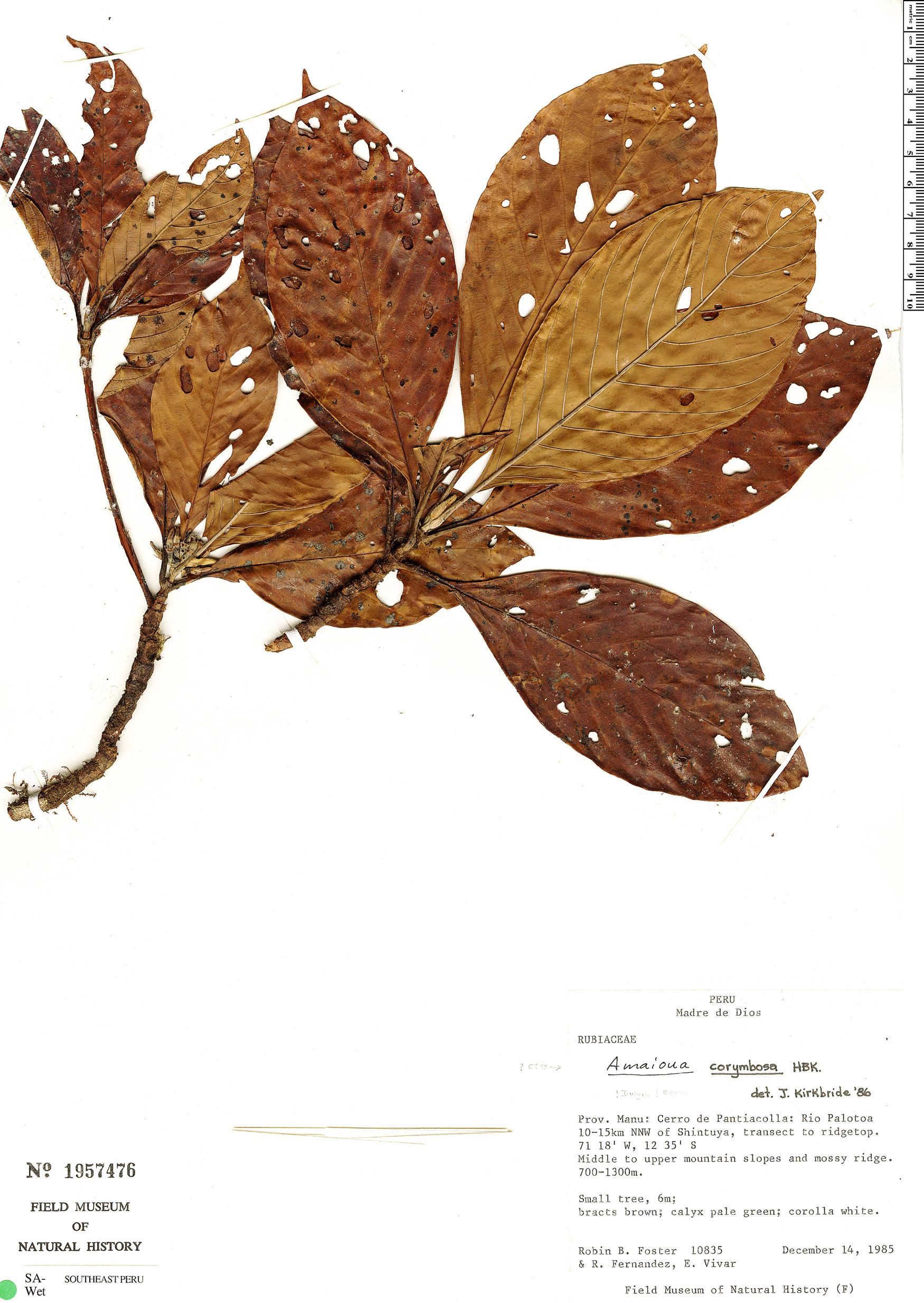 Espécime: Amaioua guianensis