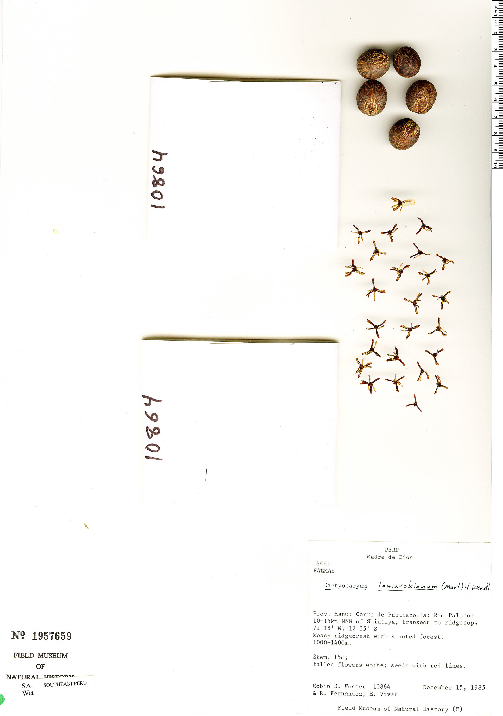 Specimen: Dictyocaryum lamarckianum