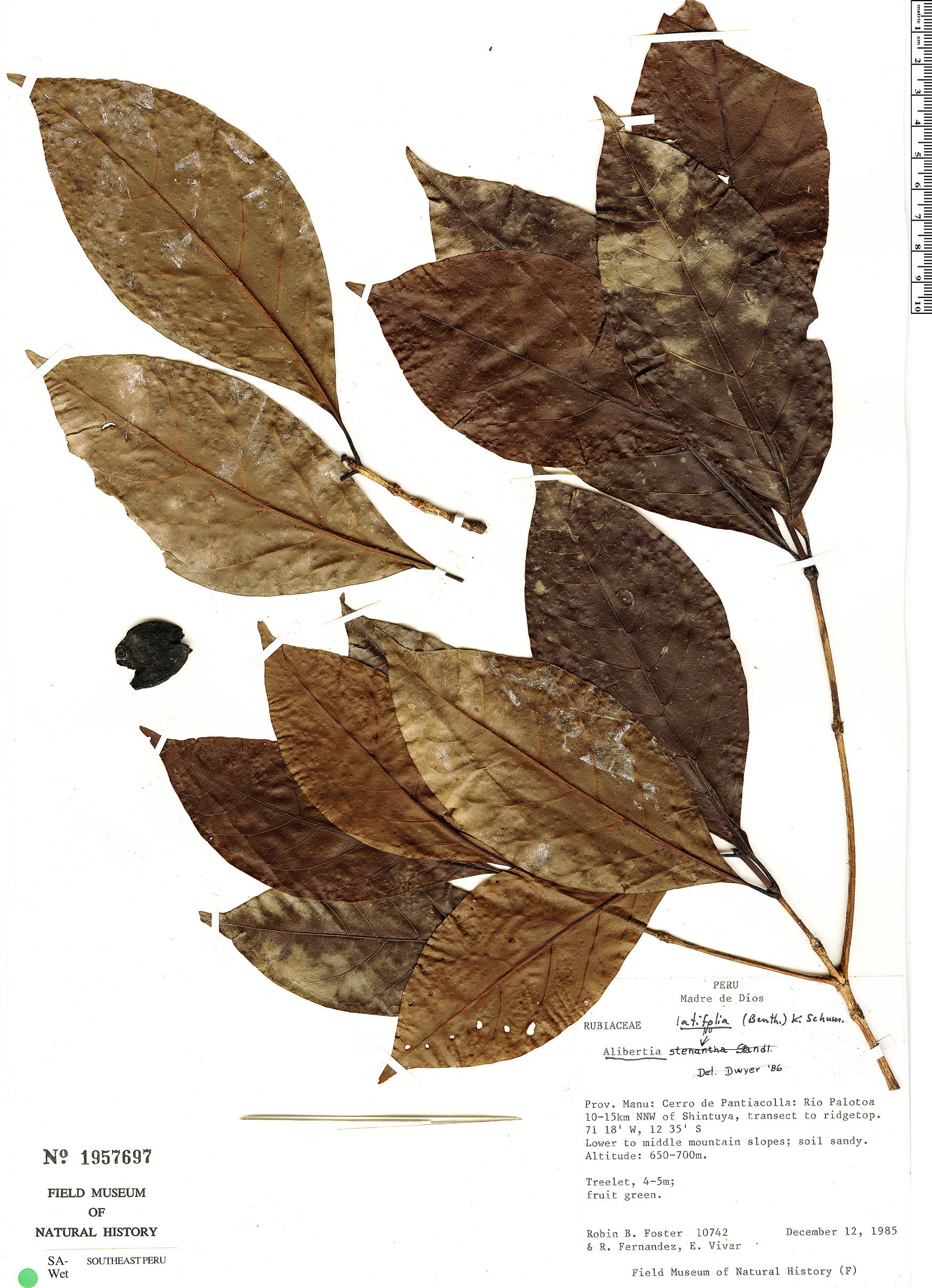 Espécimen: Cordiera hadrantha