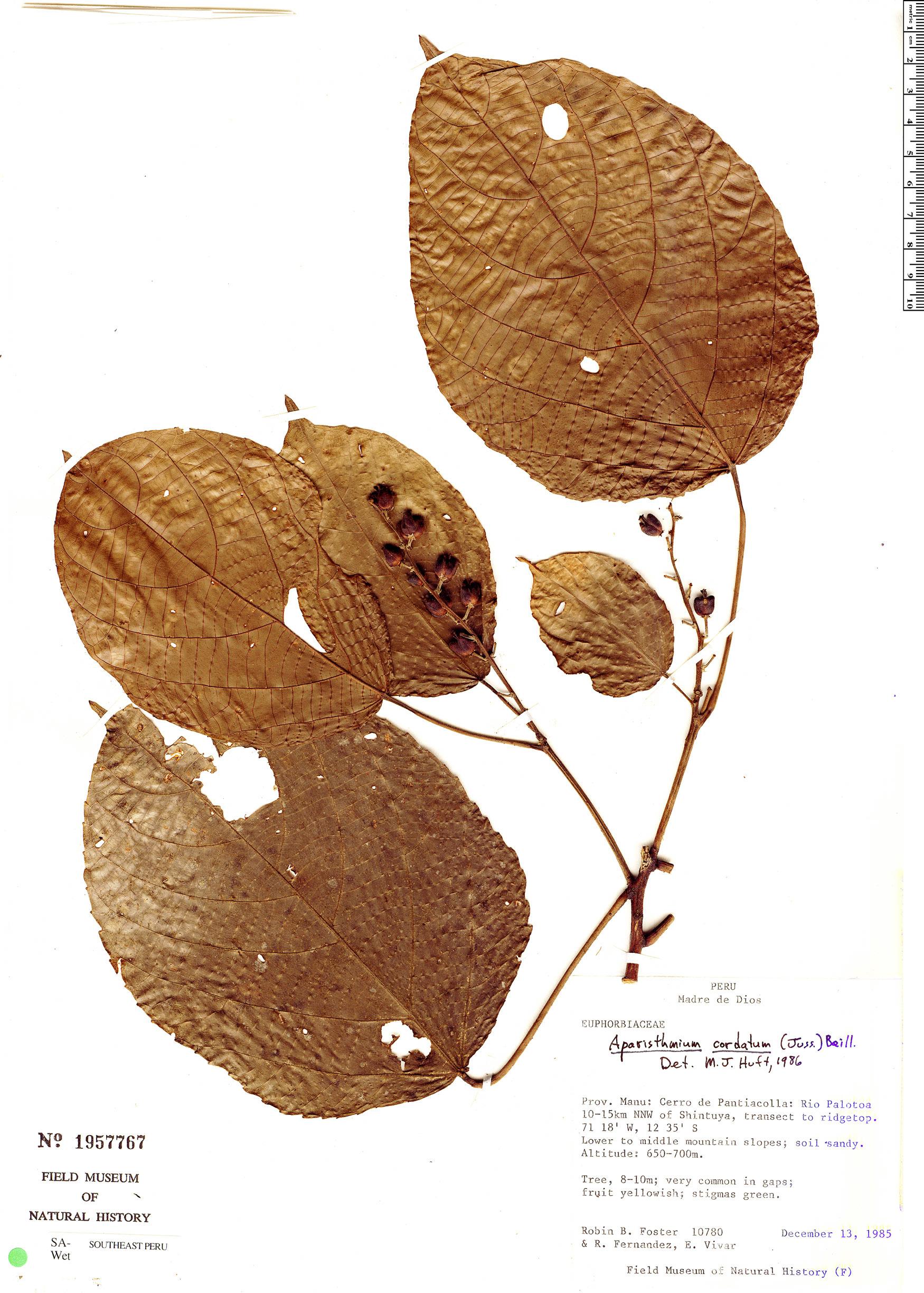Specimen: Aparisthmium cordatum
