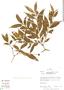 Faramea quinqueflora Poepp. & Endl., Peru, R. B. Foster 10776, F