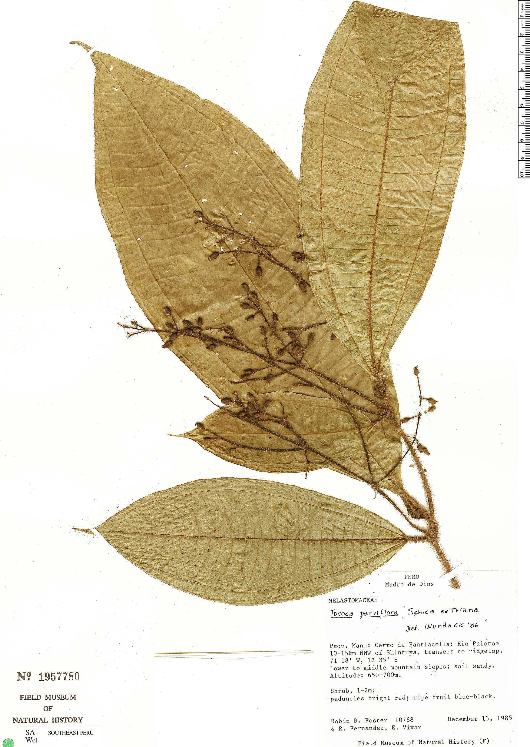 Specimen: Tococa parviflora