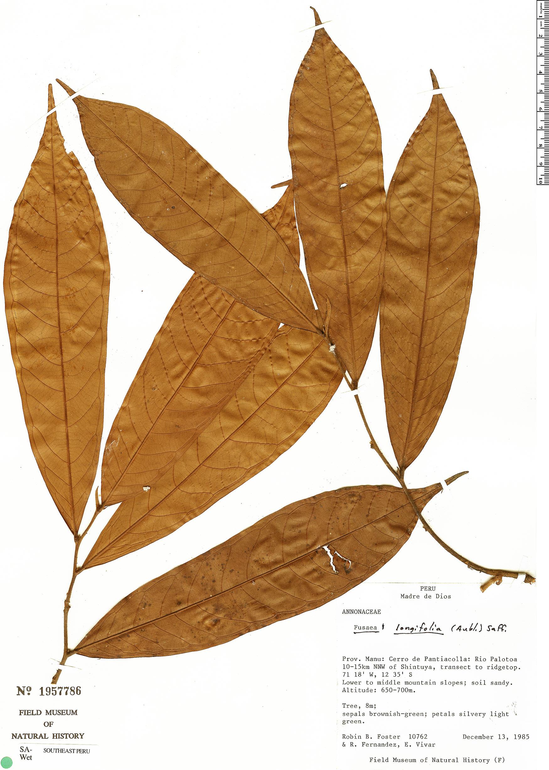 Specimen: Fusaea longifolia