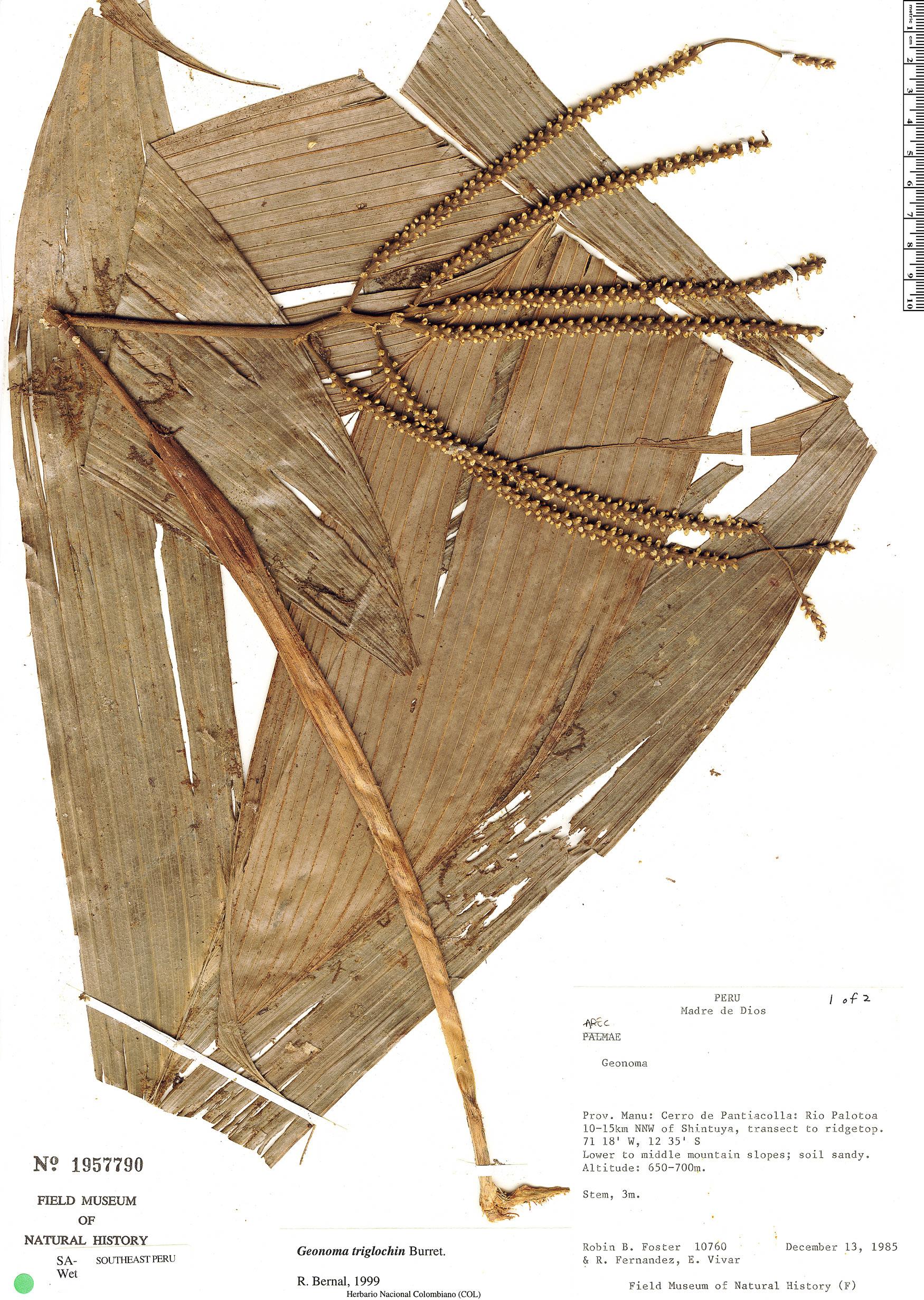 Specimen: Geonoma triglochin