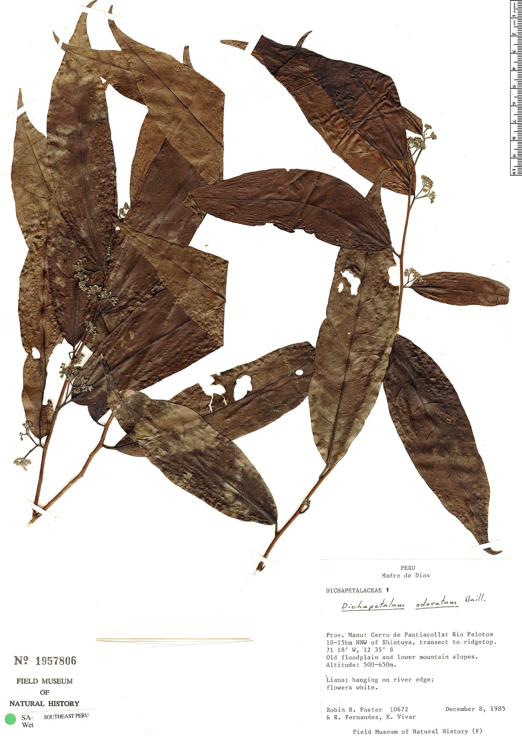 Specimen: Dichapetalum odoratum