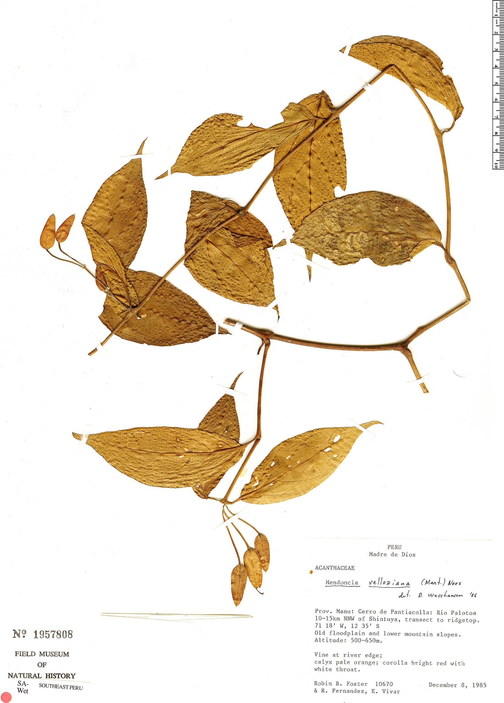 Specimen: Mendoncia velloziana