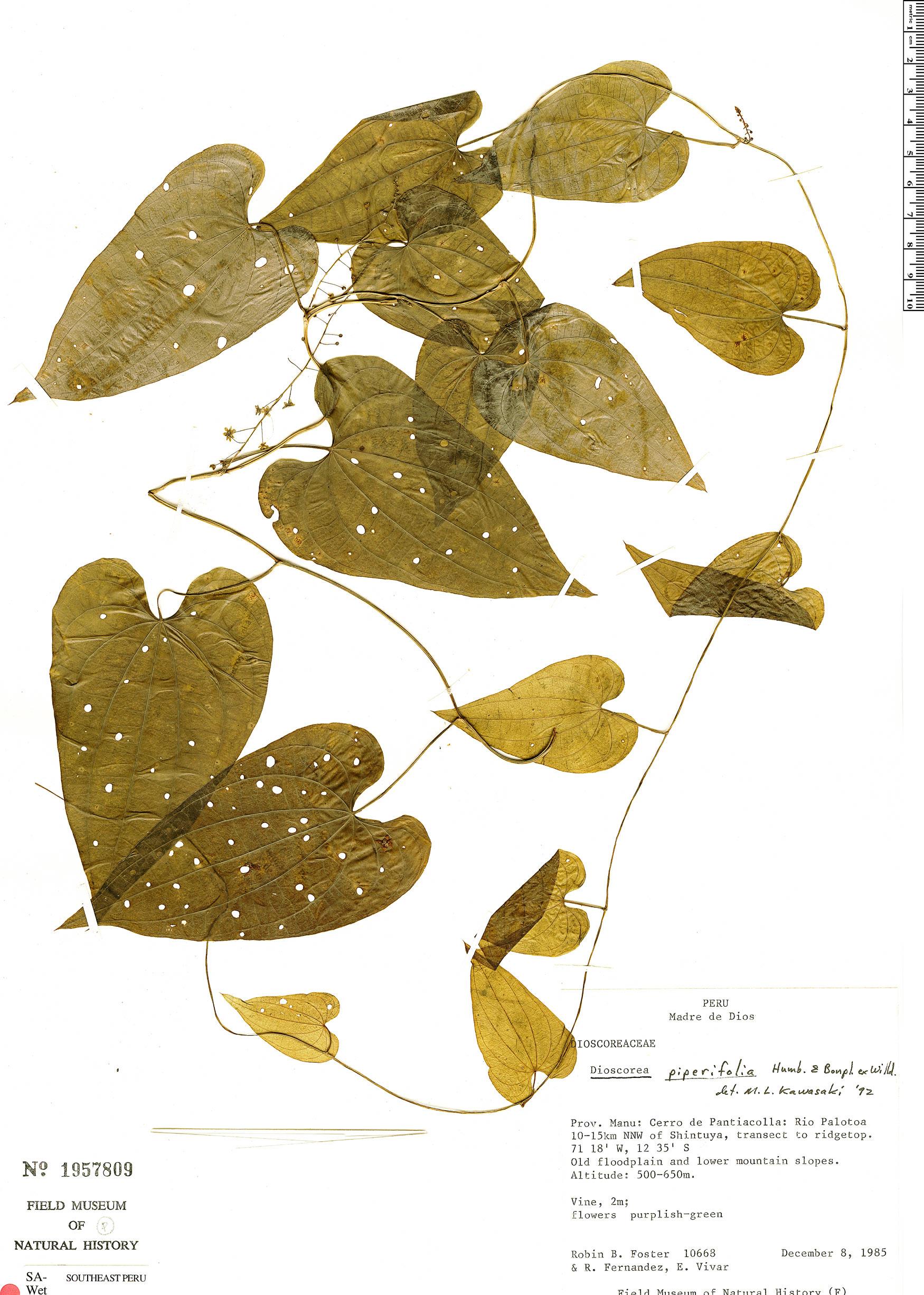 Specimen: Dioscorea piperifolia