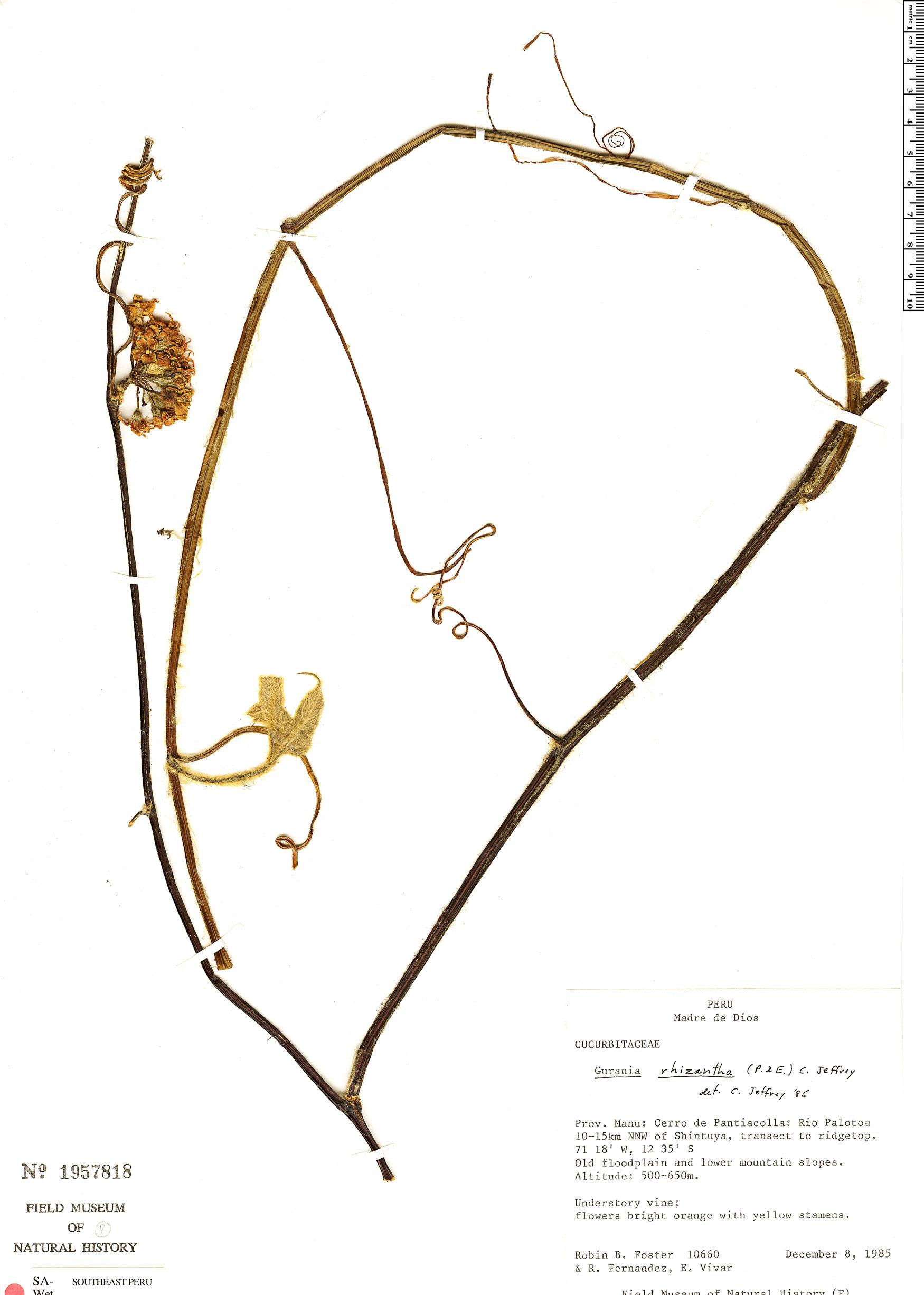 Specimen: Gurania rhizantha