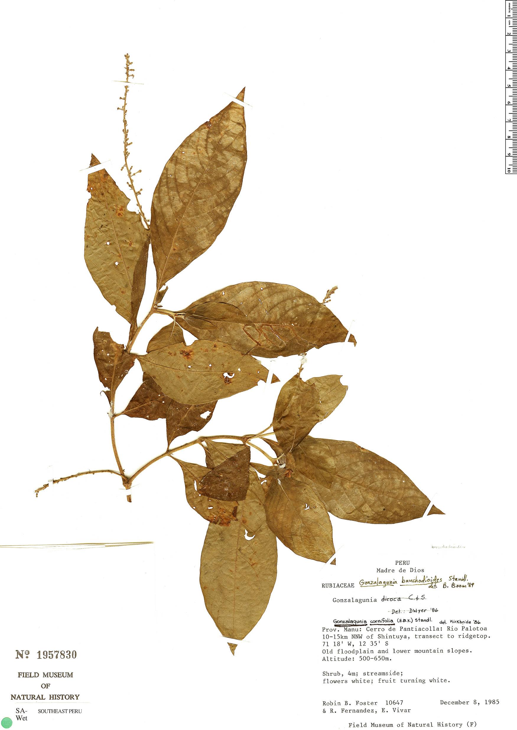 Specimen: Gonzalagunia bunchosioides