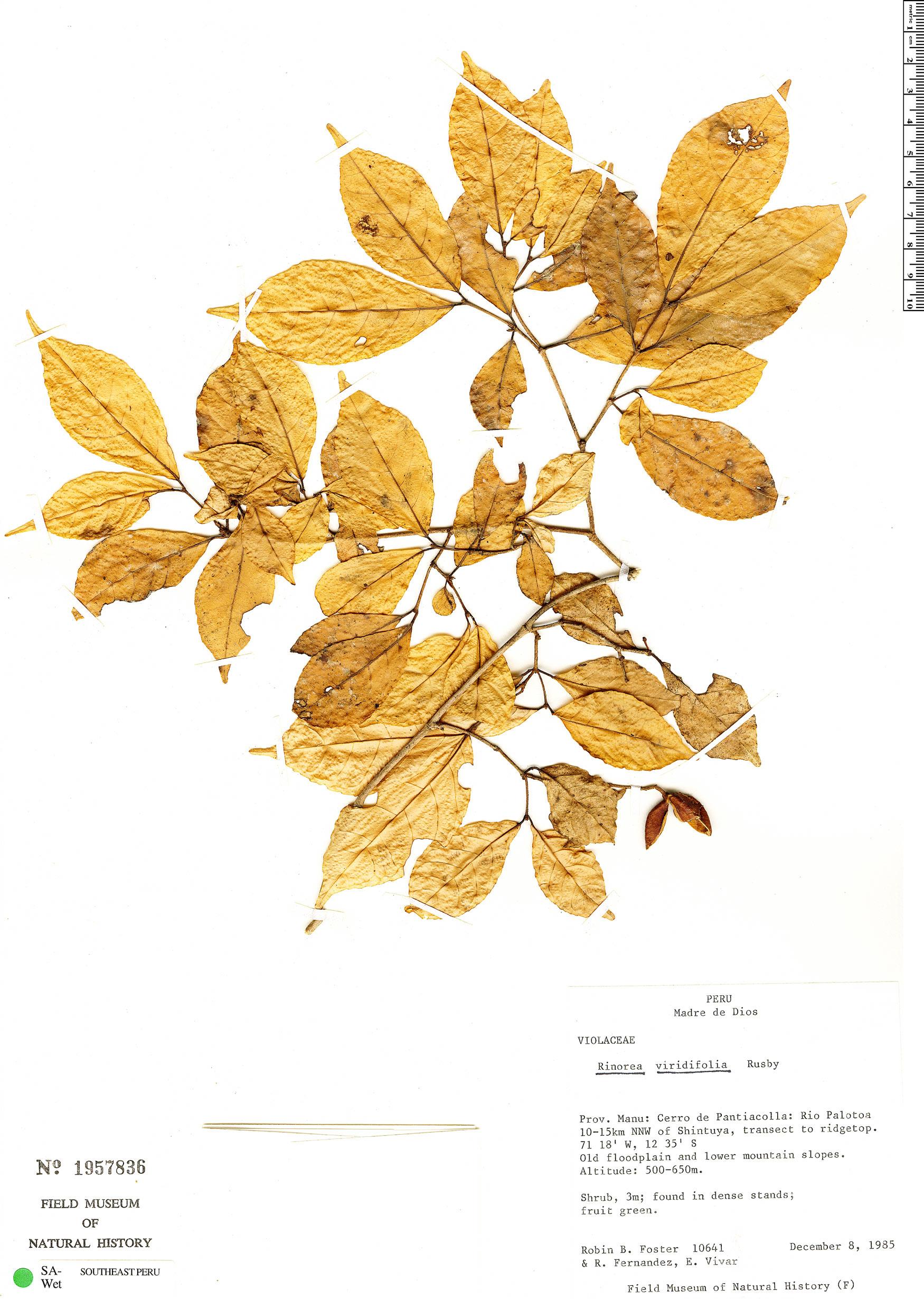 Specimen: Rinorea viridifolia