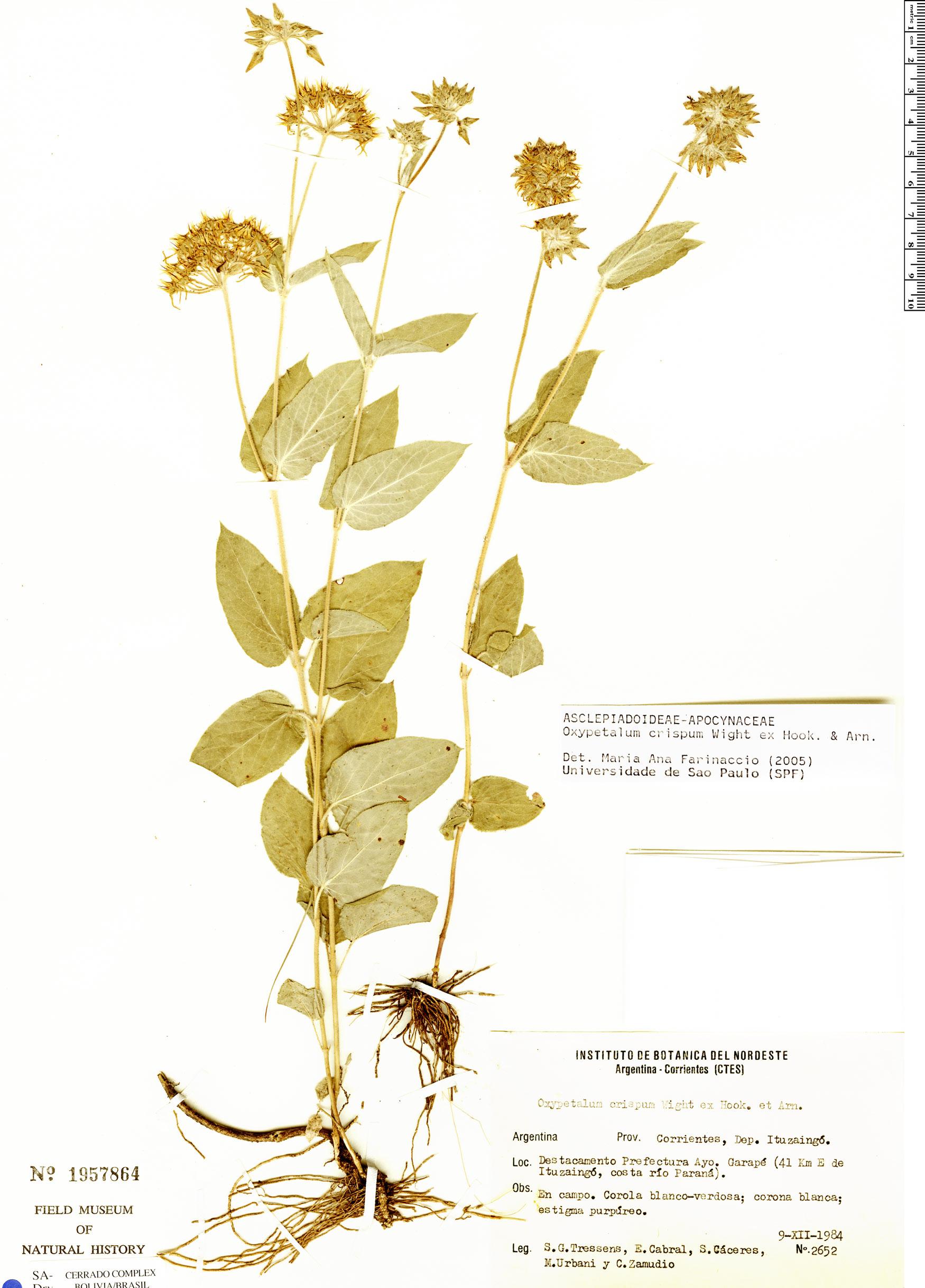 Specimen: Oxypetalum crispum