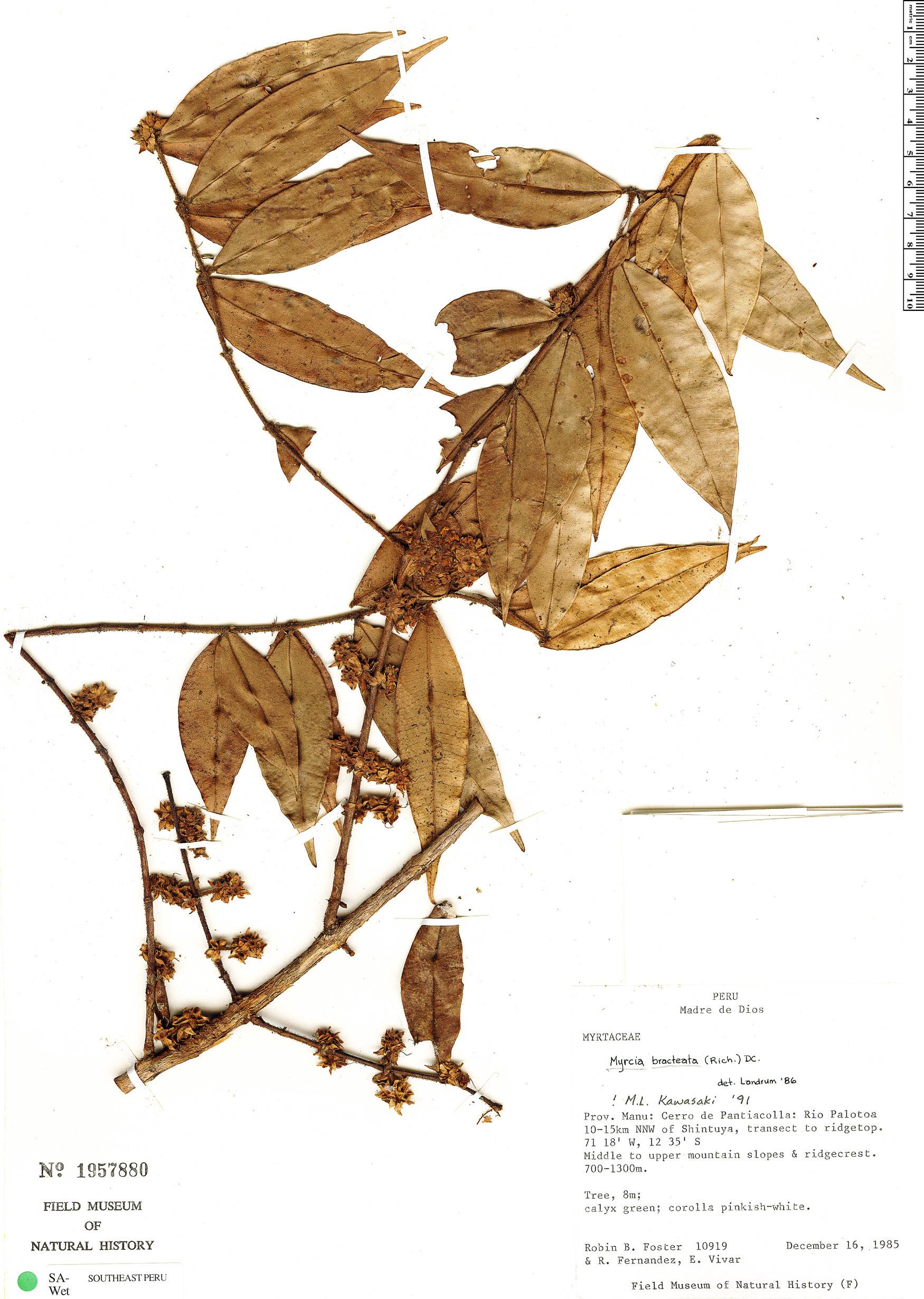 Specimen: Myrcia bracteata