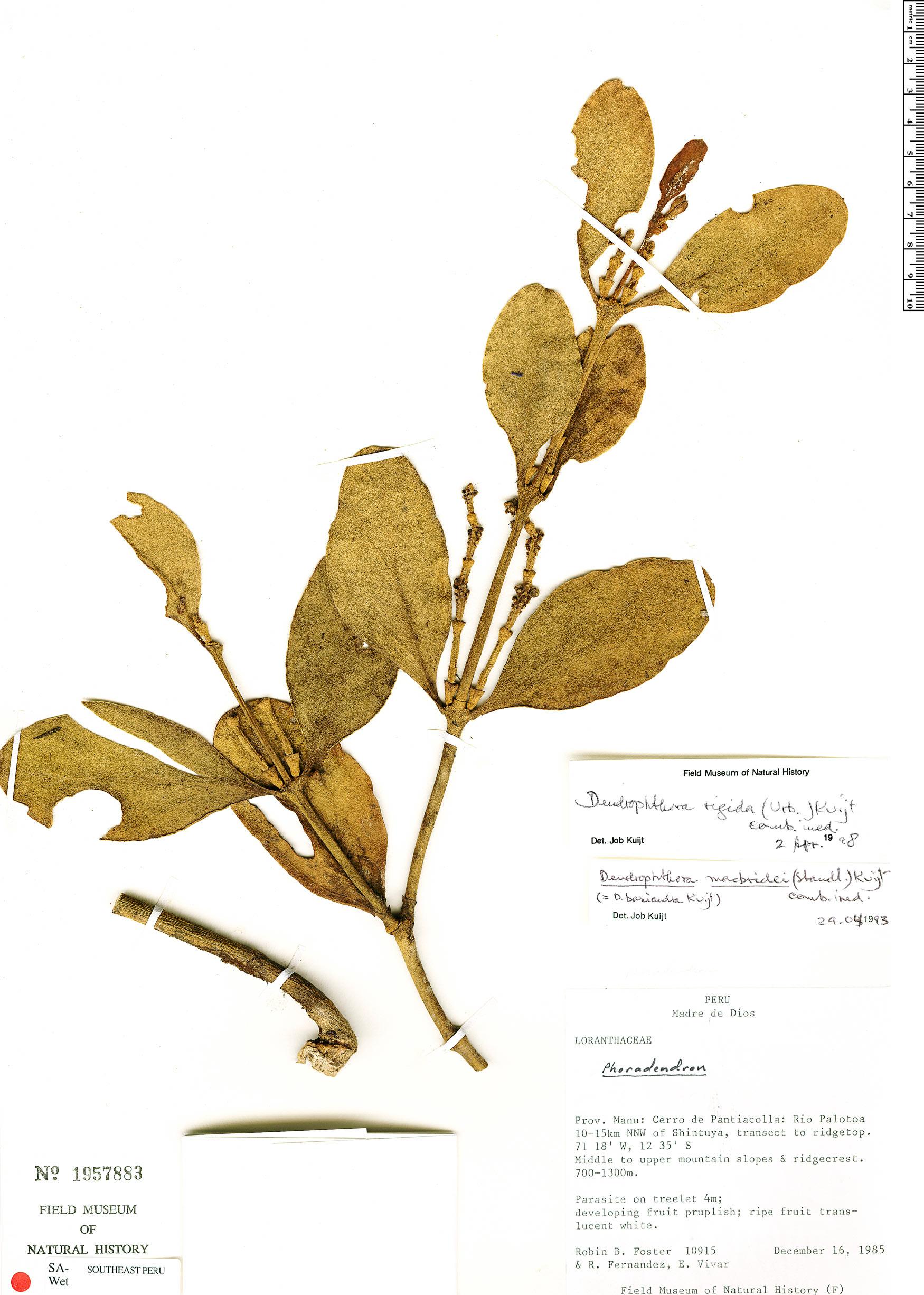 Specimen: Dendrophthora macbridei