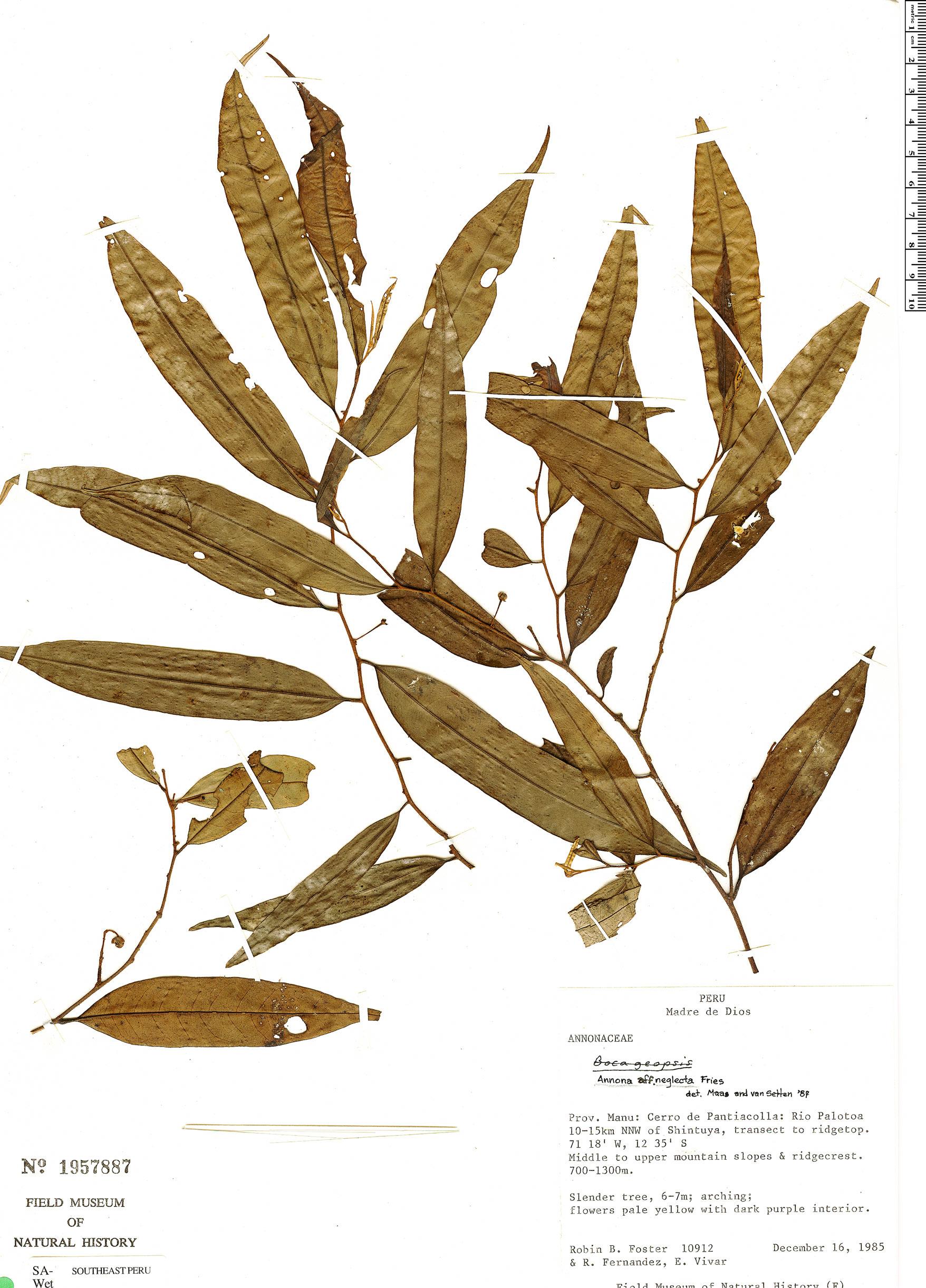 Specimen: Annona neglecta