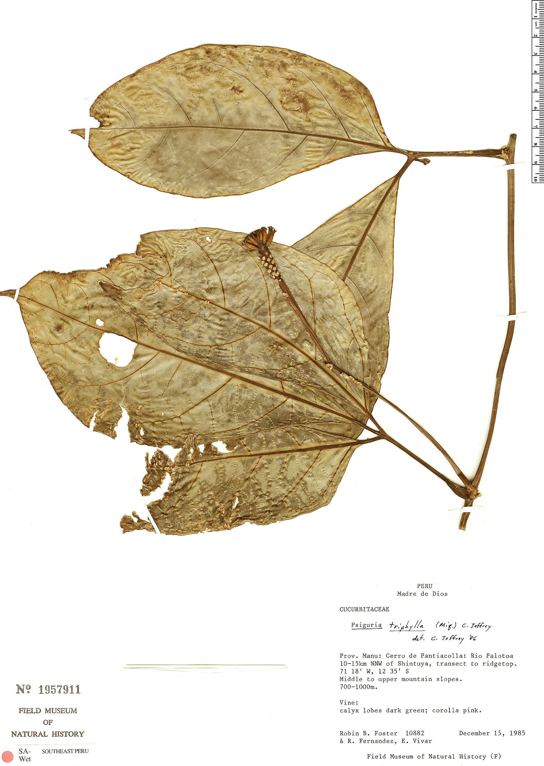 Specimen: Psiguria triphylla
