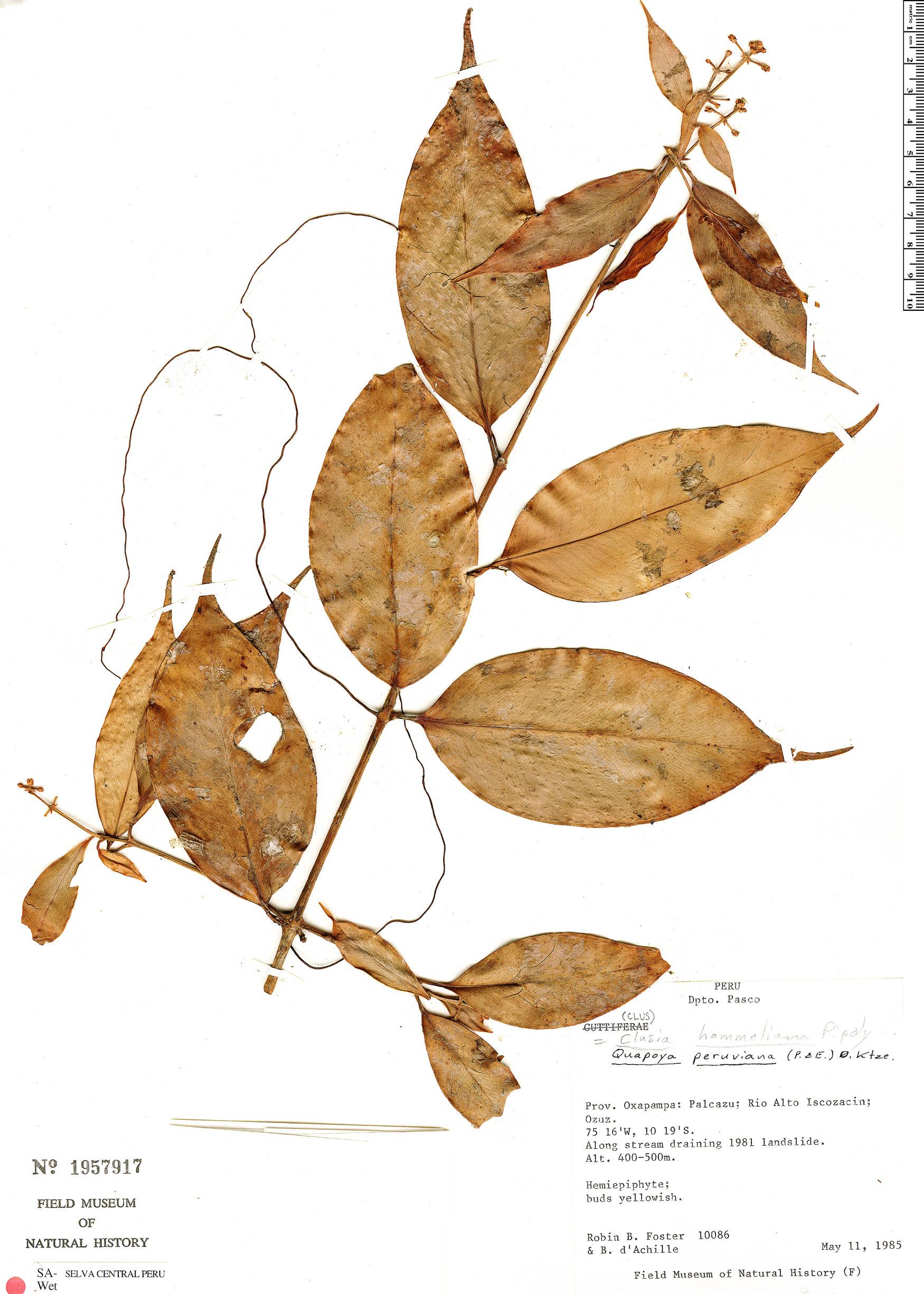 Espécime: Clusia hammeliana