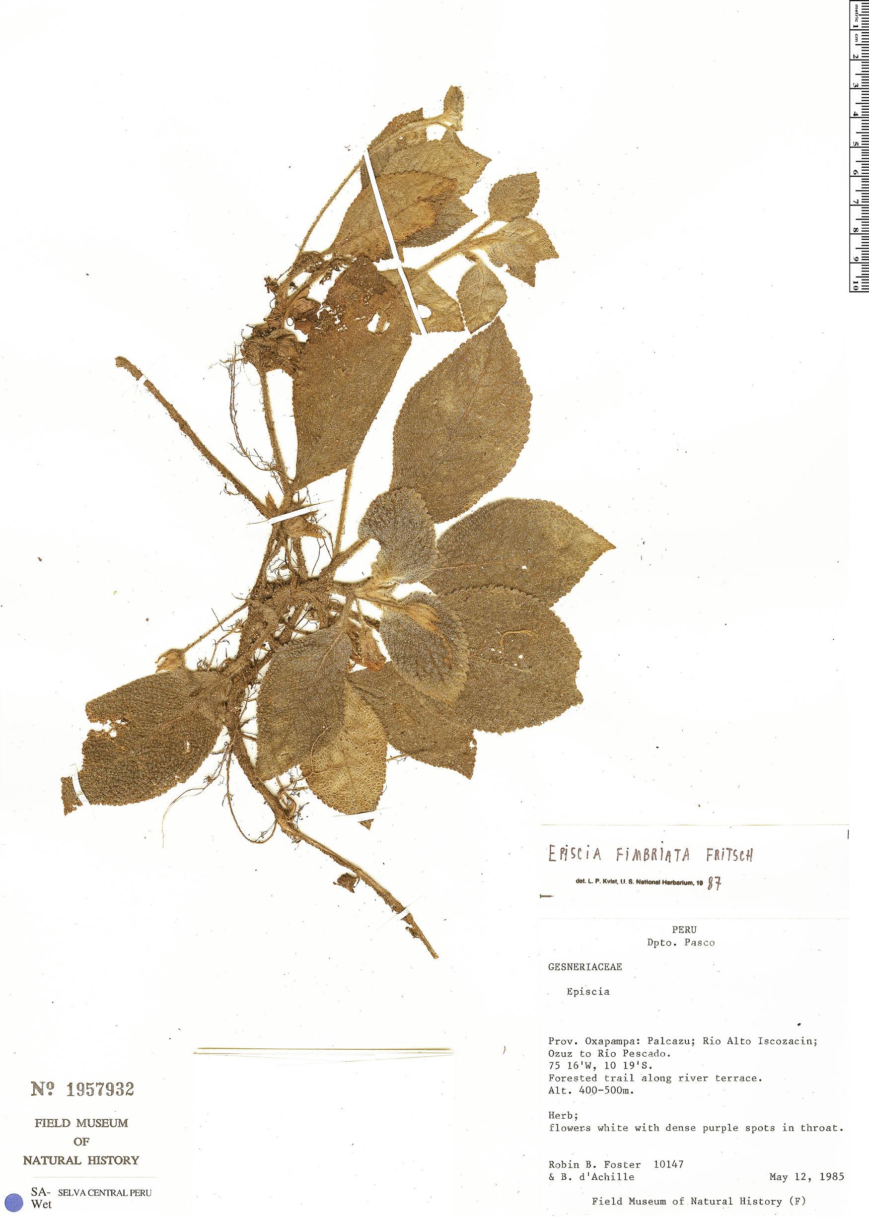 Specimen: Episcia fimbriata