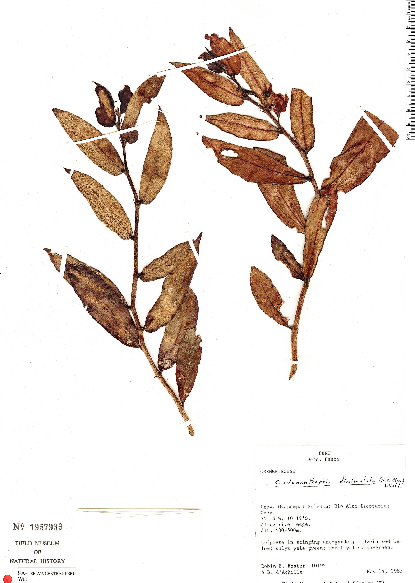 Espécime: Codonanthopsis dissimulata