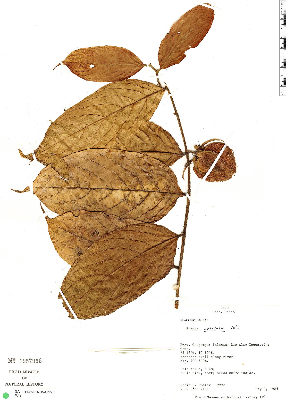 Specimen: Ryania speciosa
