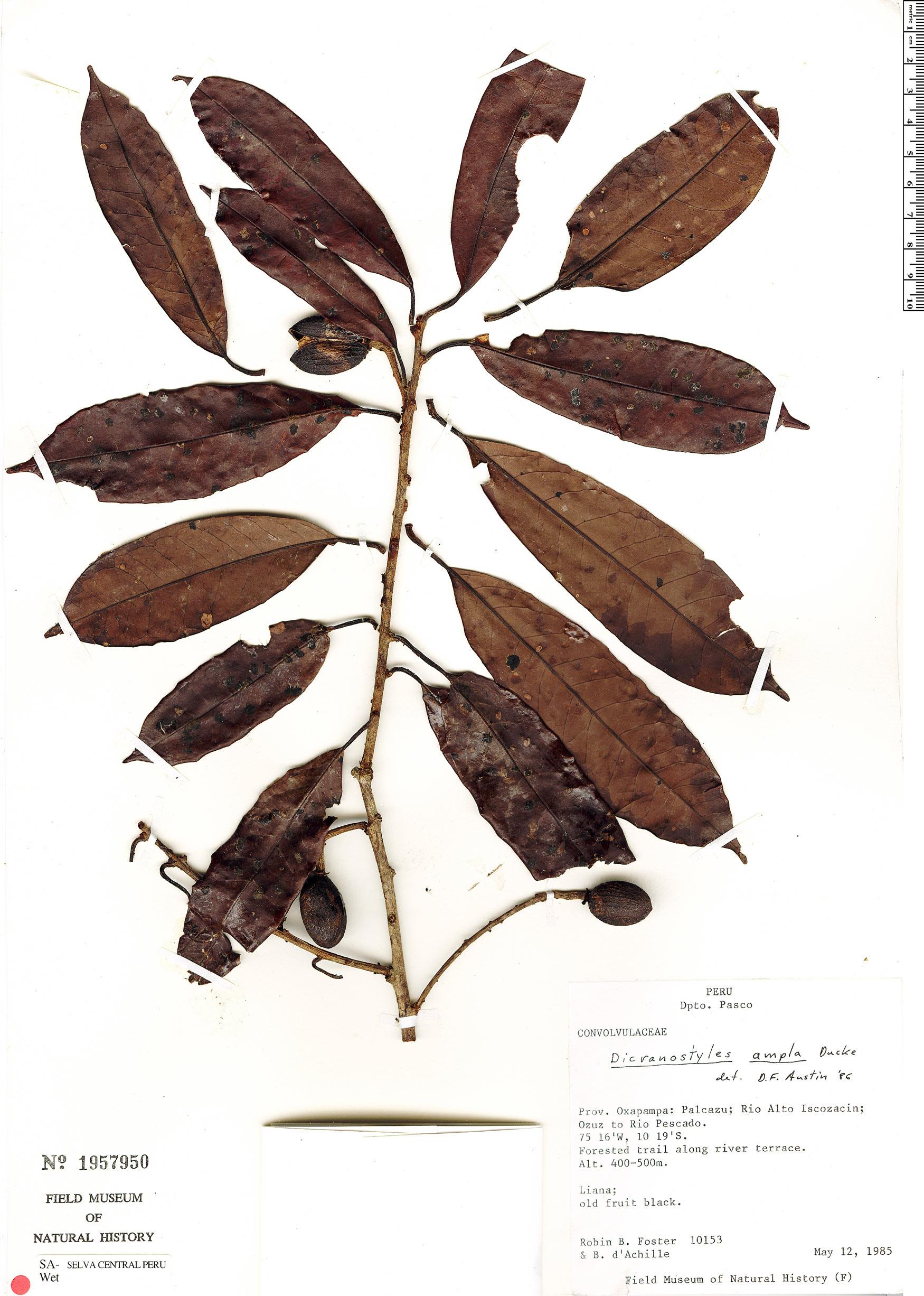 Specimen: Dicranostyles ampla