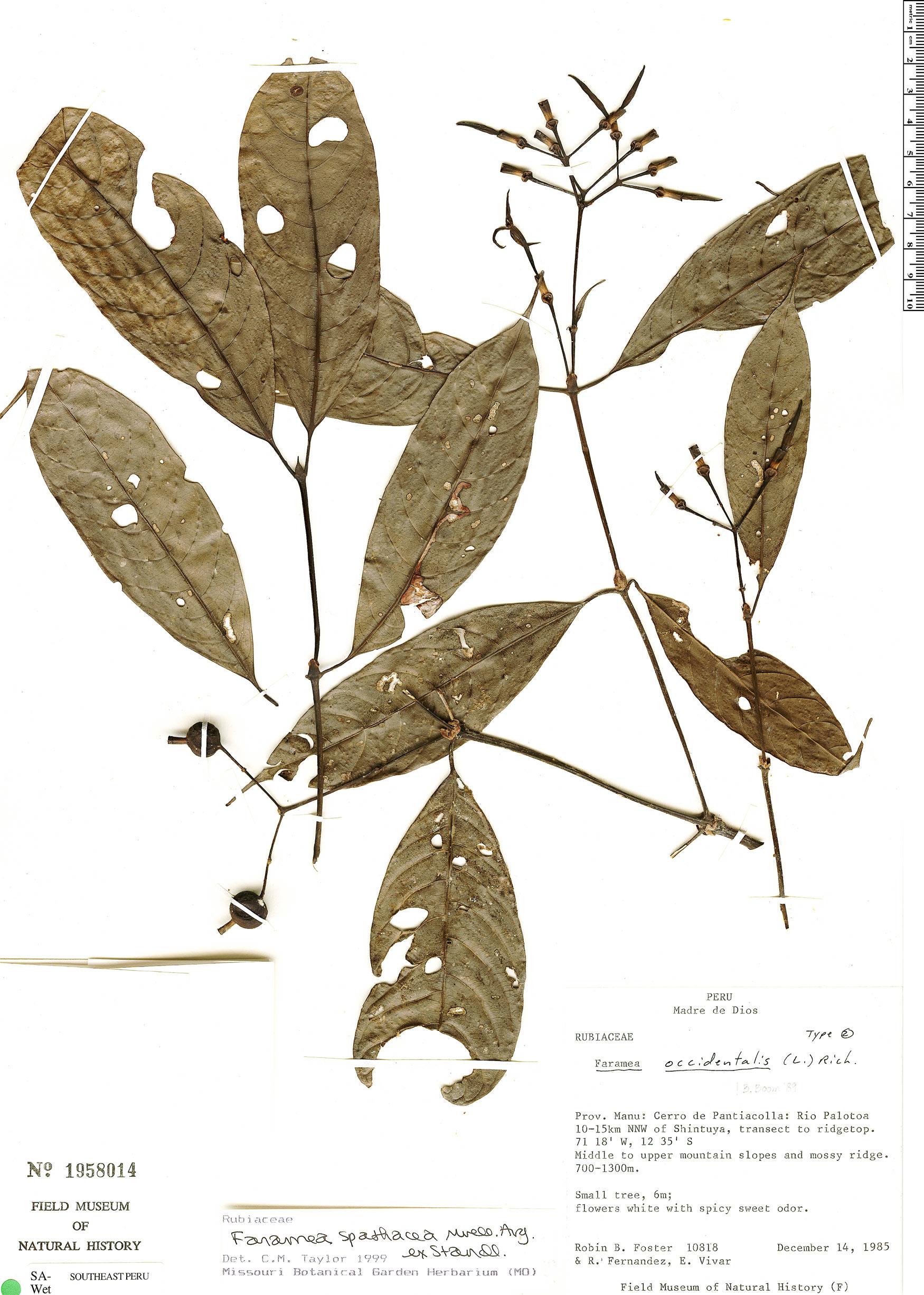 Specimen: Faramea spathacea