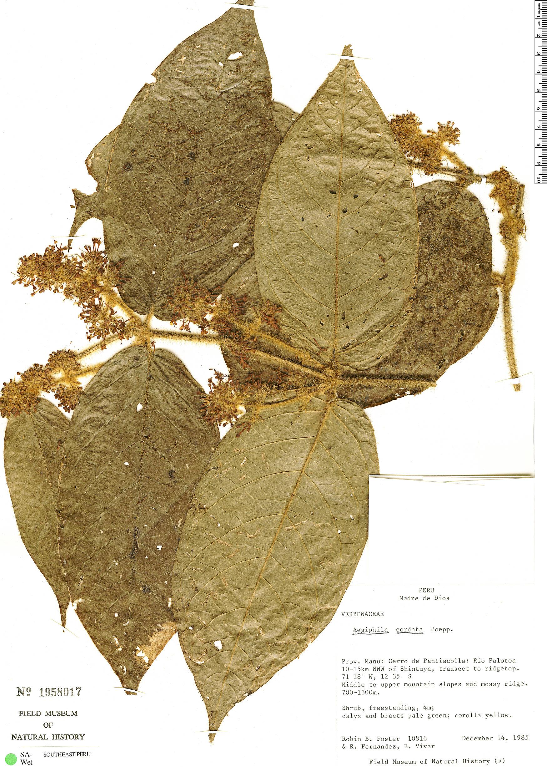 Specimen: Aegiphila cordata