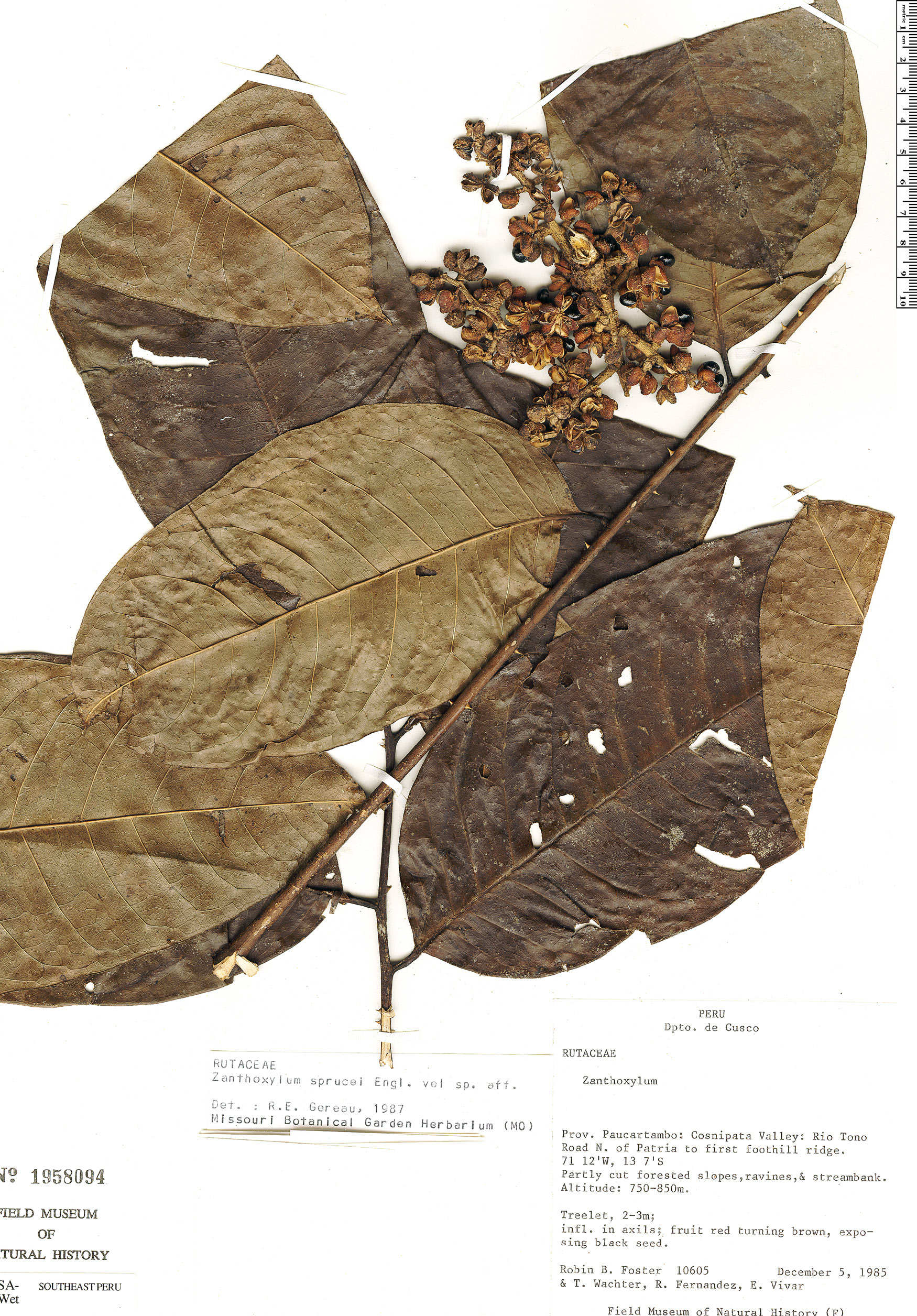 Specimen: Zanthoxylum sprucei