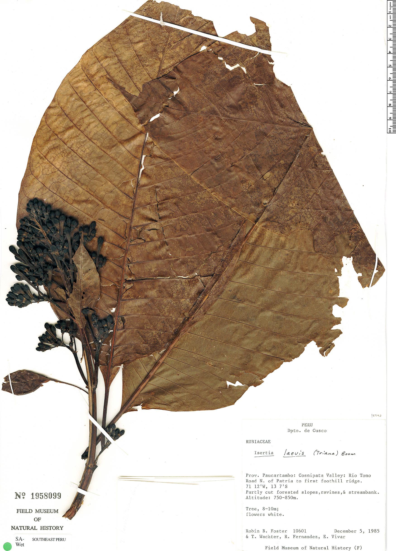 Espécime: Isertia laevis