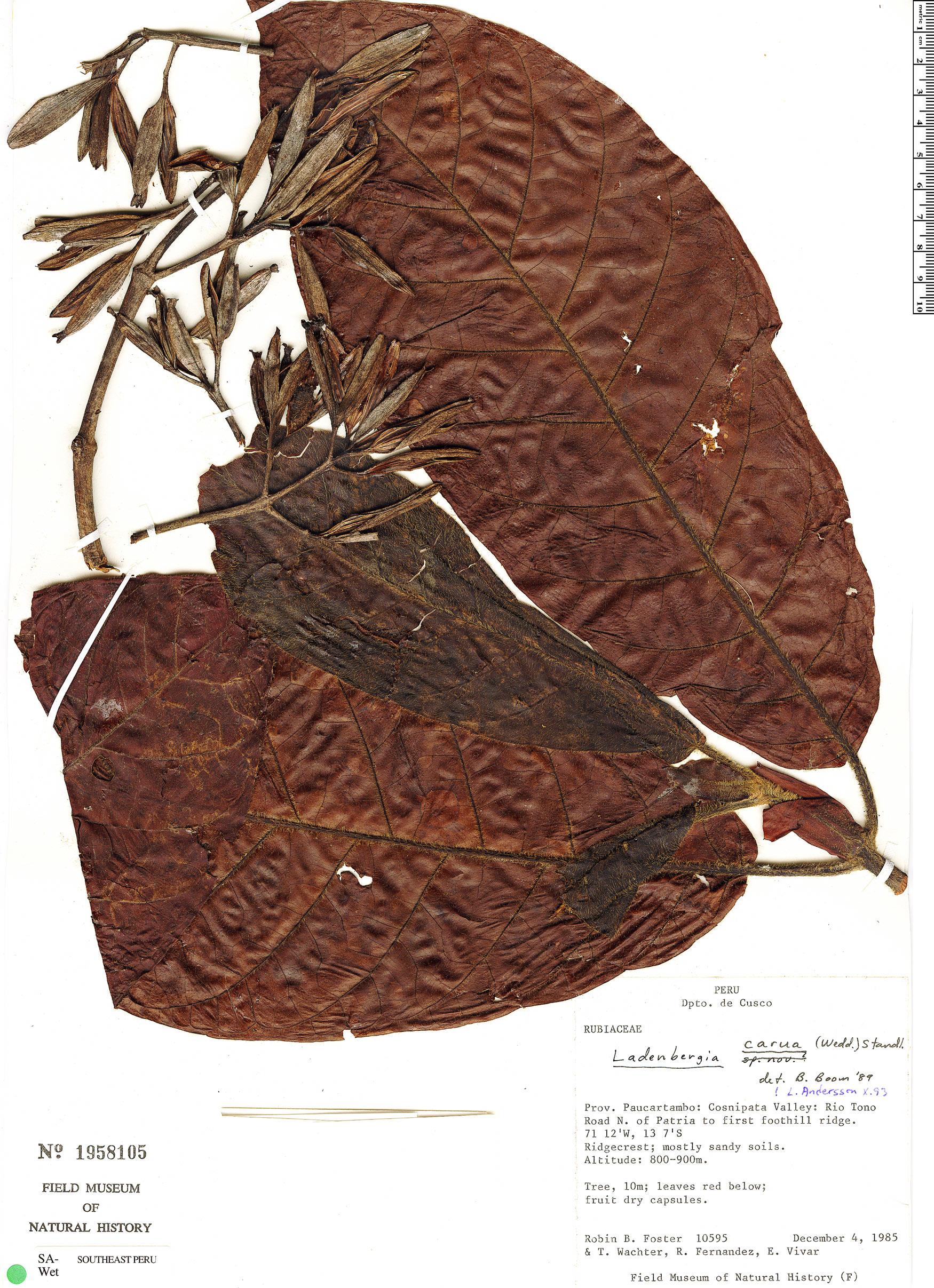 Specimen: Ladenbergia carua