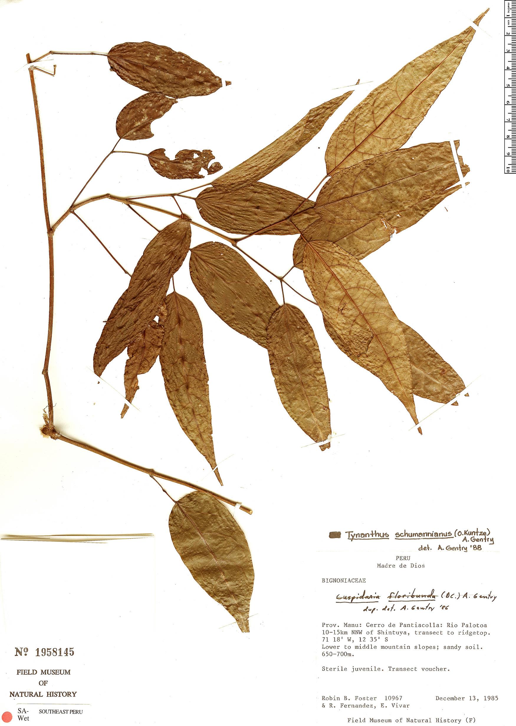 Specimen: Tynanthus schumannianus