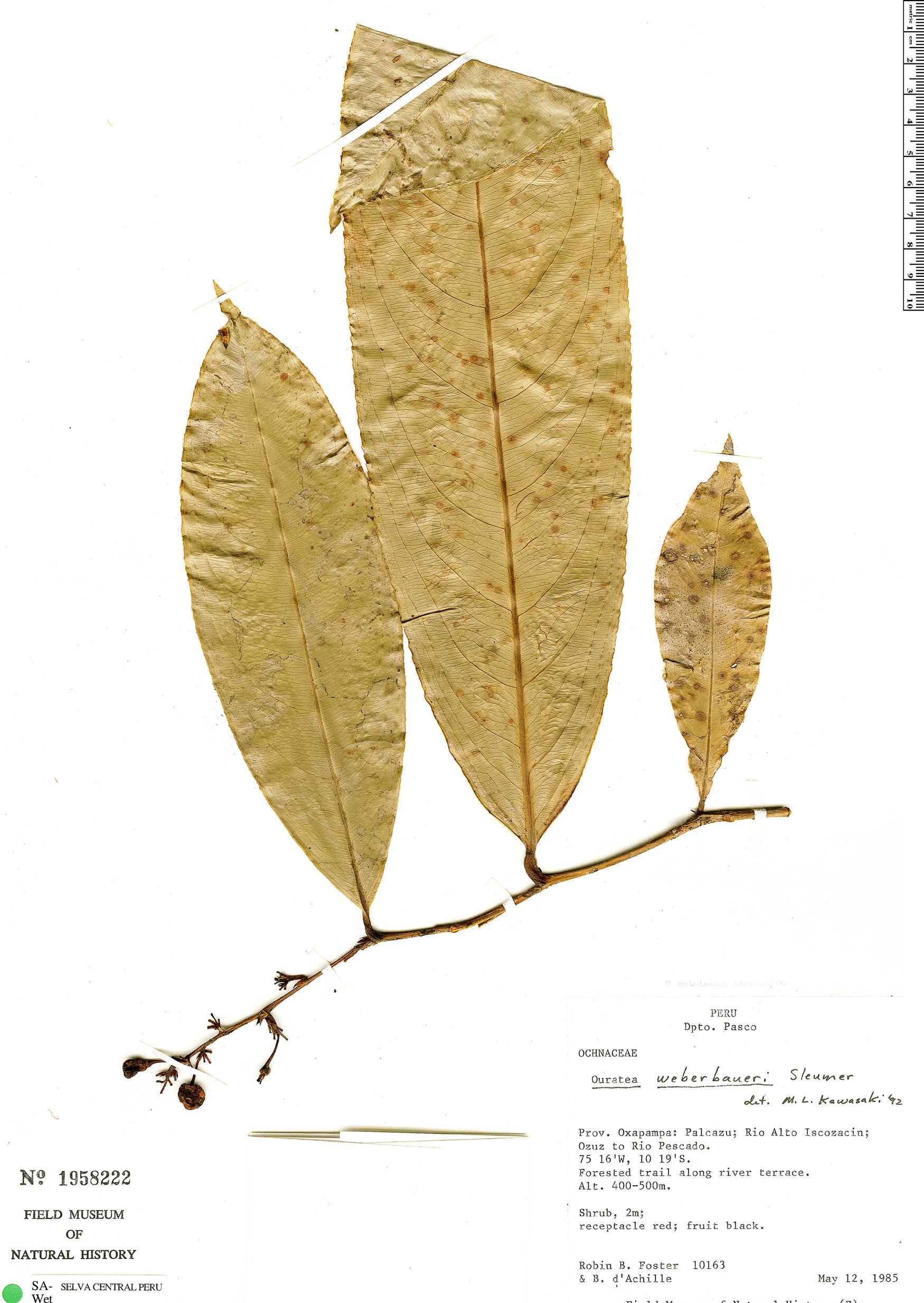 Specimen: Ouratea weberbaueri