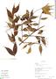 Myrcia splendens (Sw.) DC., Peru, R. B. Foster 10125, F