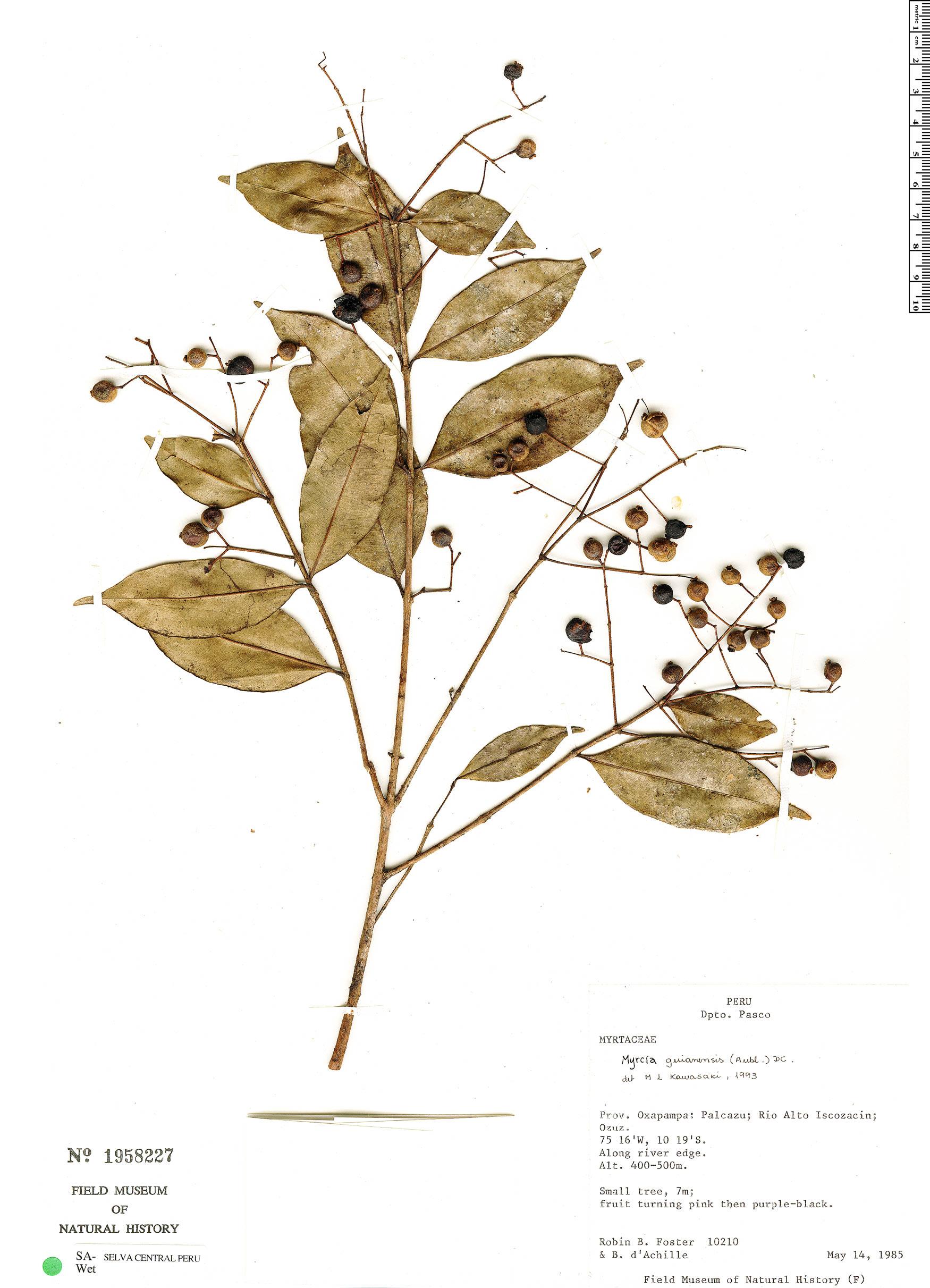 Specimen: Myrcia guianensis