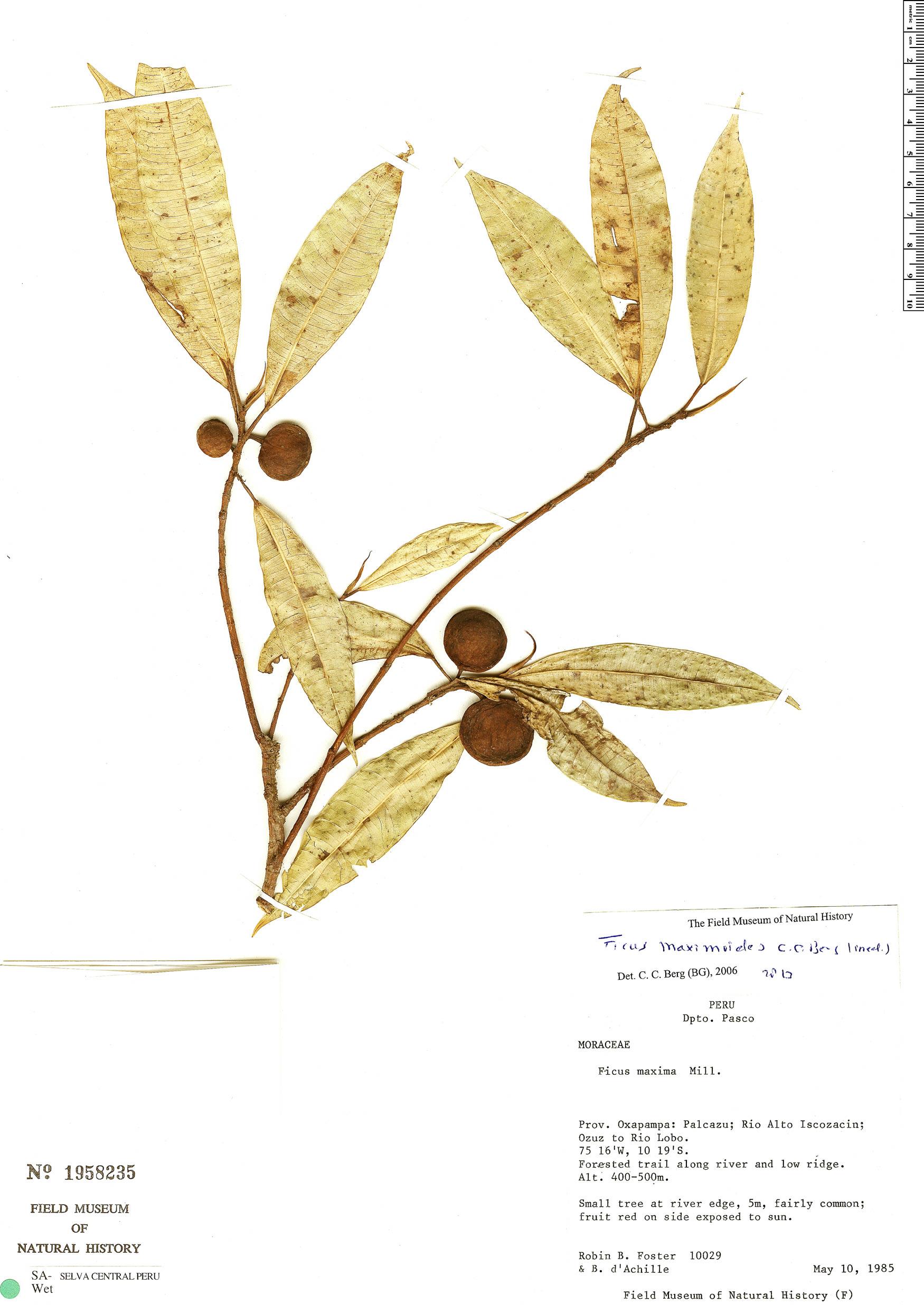 Specimen: Ficus maximoides