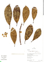 Ficus cf. americana subsp. subapiculata (Miq.) C. C. Berg, Peru, R. B. Foster 10151, F