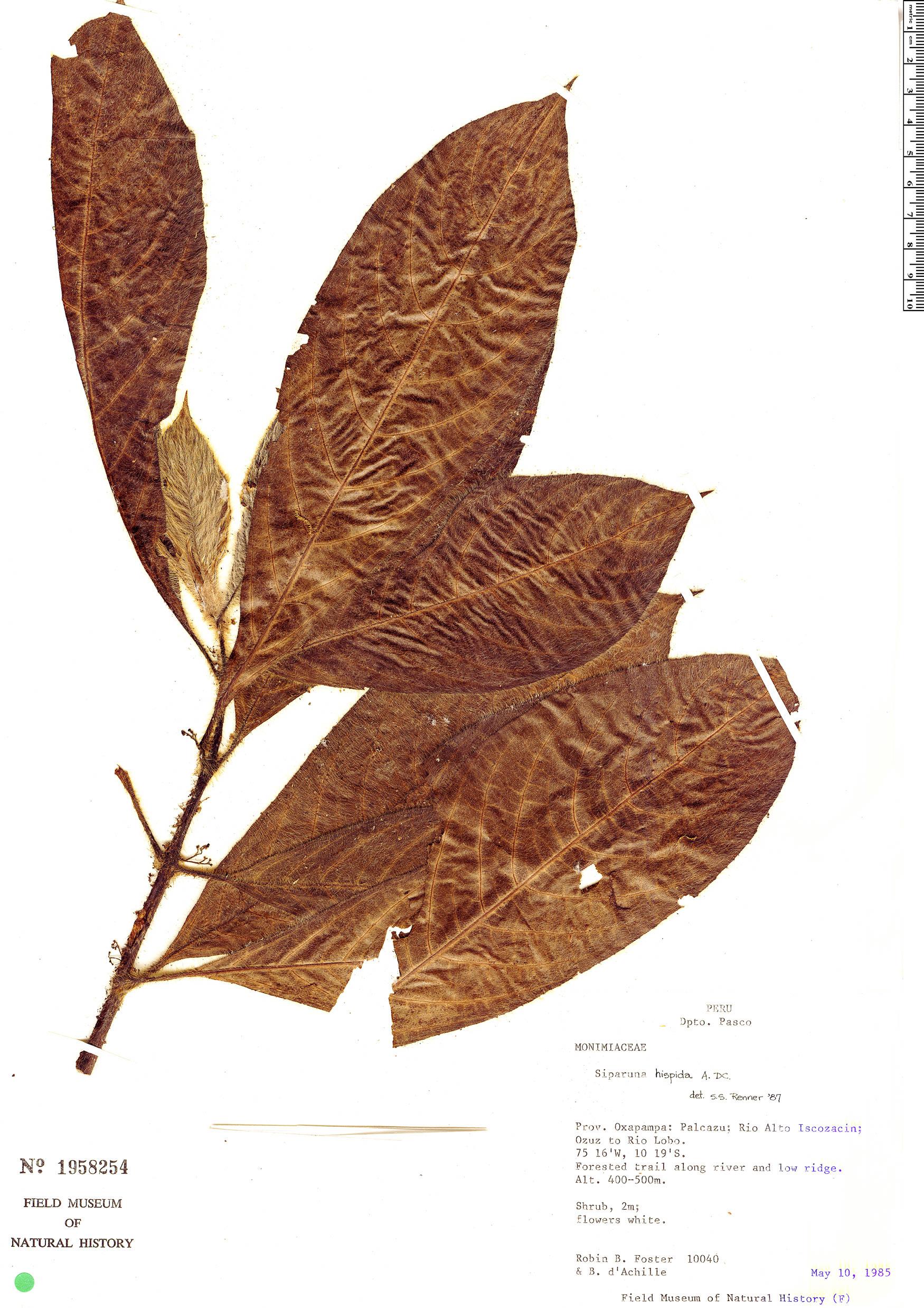 Specimen: Siparuna thecaphora