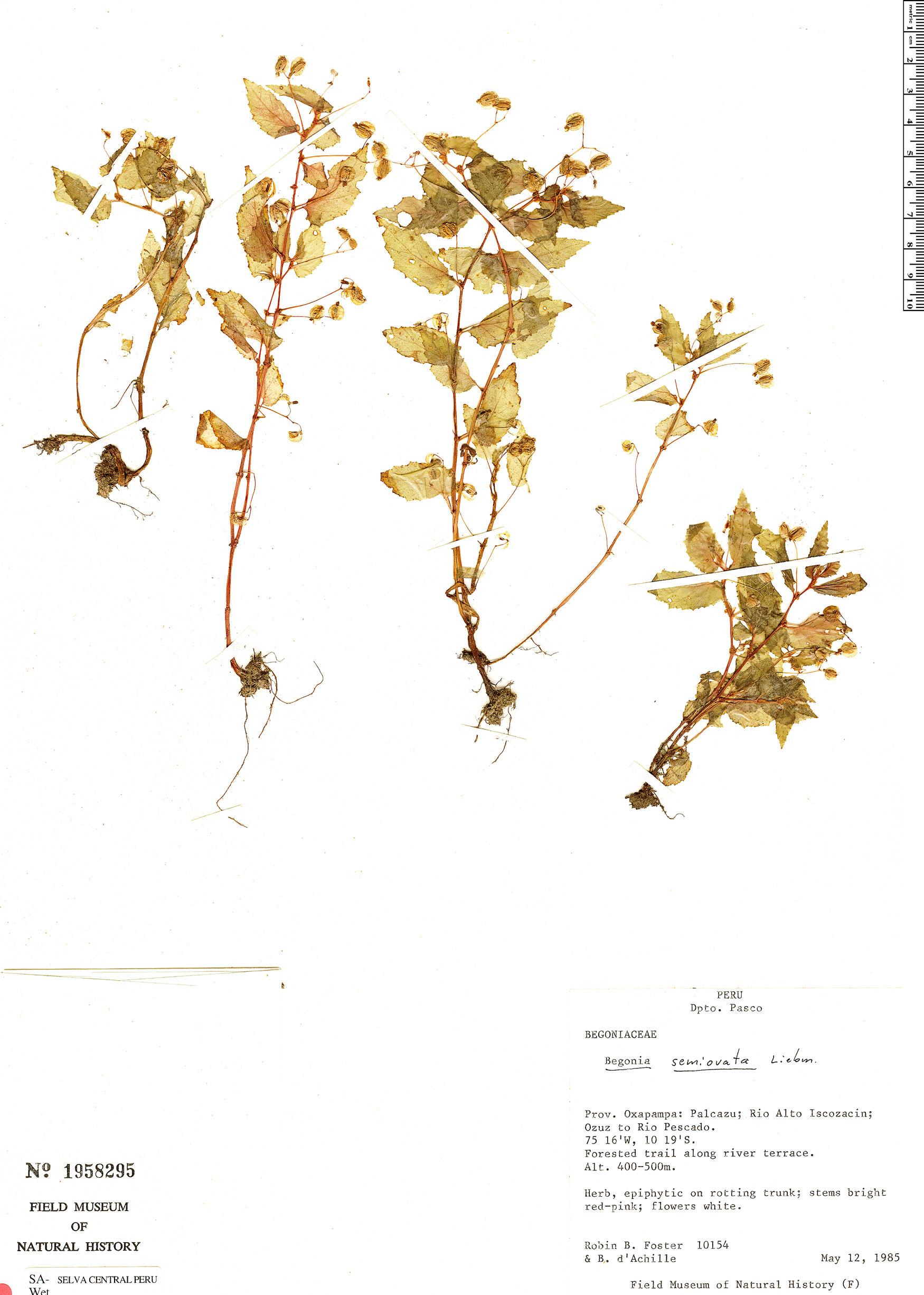 Specimen: Begonia semiovata