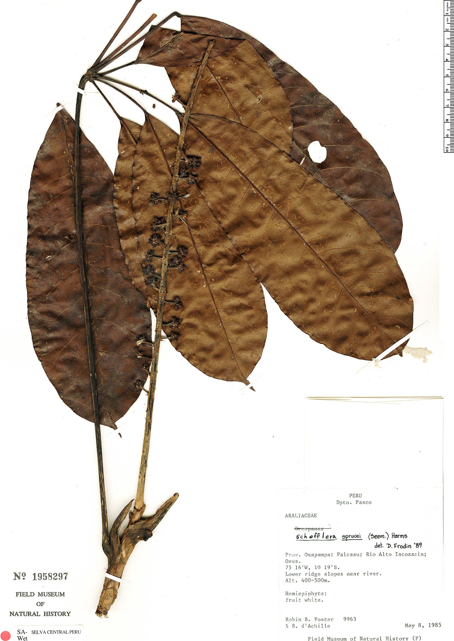 Specimen: Schefflera sprucei